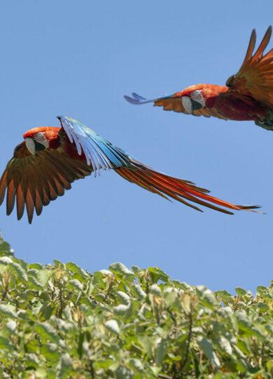 Argentina ibera macaws c tompkins conservation