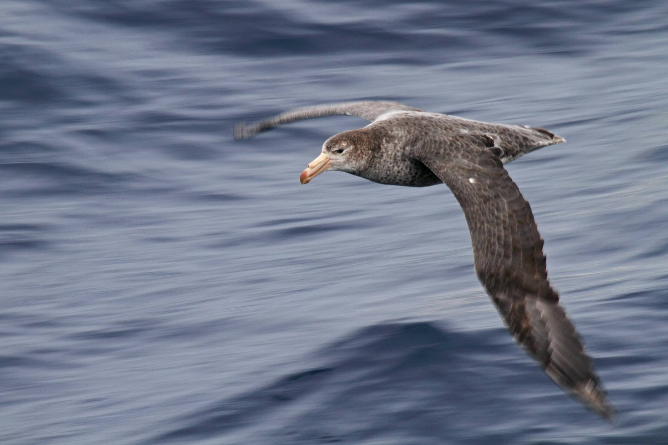 Antarctica drake passage giant petrel flying morgens trolle
