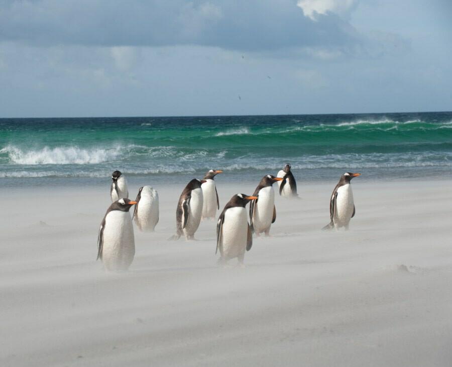 Antarctica falkland islands gentoo penguins beach c Erwin Vermeulen