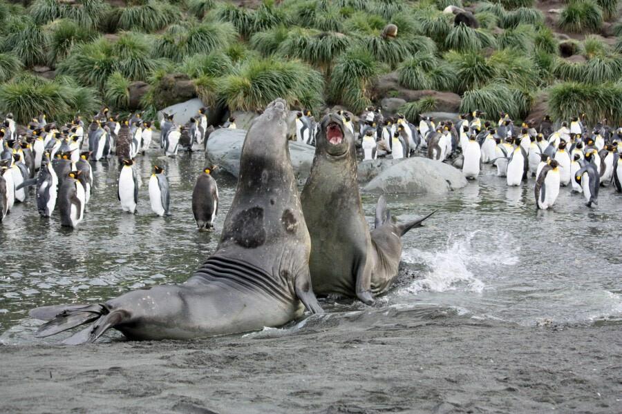 Antarctica south georgia elephant seals c Femke Wolfert