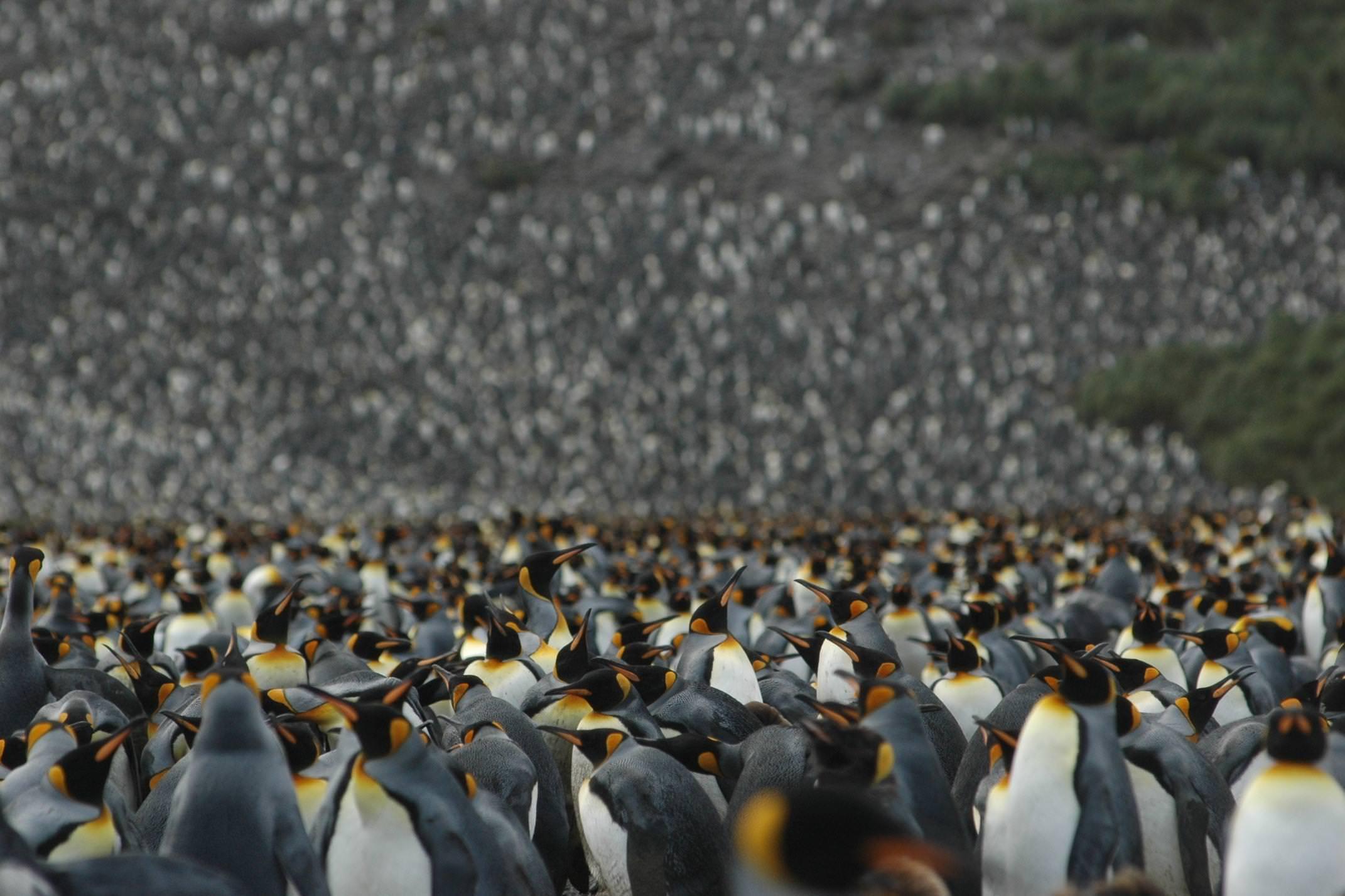 Antarctica south georgia emporer penguin colony copyright one ocean expeditions