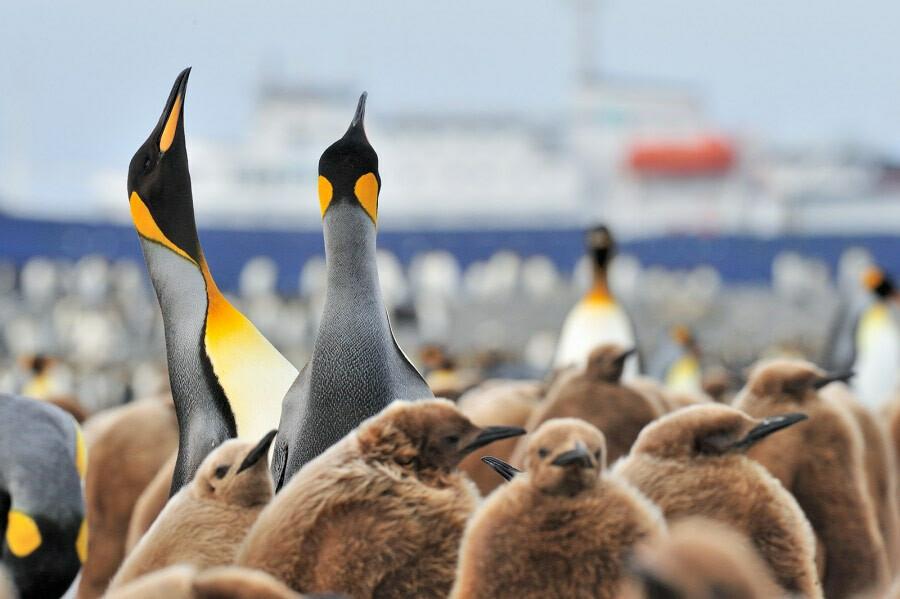 Antarctica south georgia king penguins c Martin van Lokven