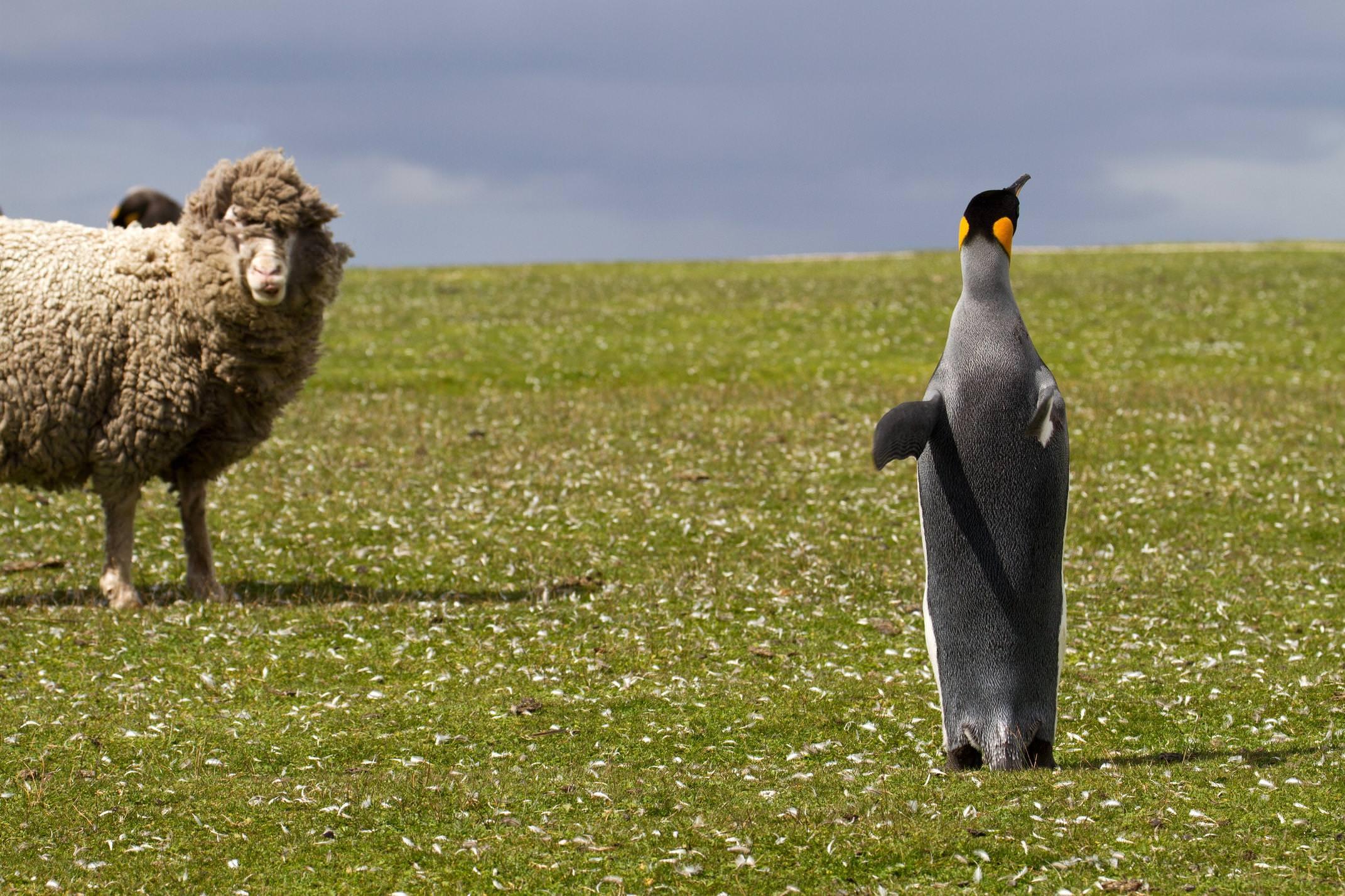 Antarctica southern oceans falklands islands king penguin and sheep c manfred thuerig