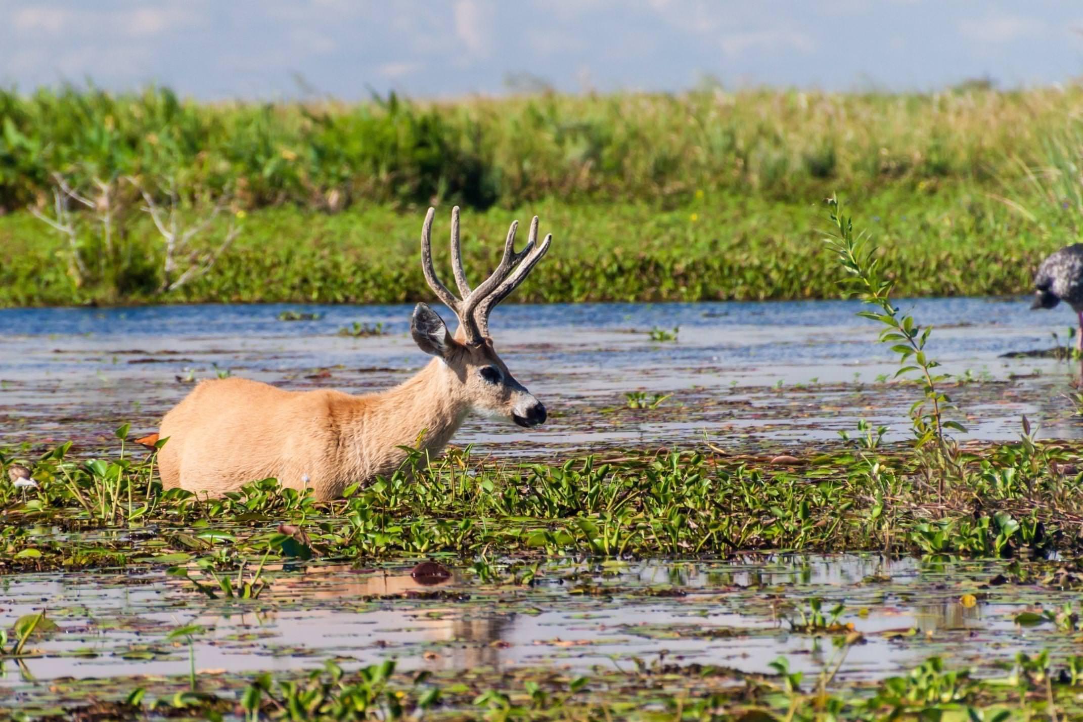 Argentina ibera marsh deer