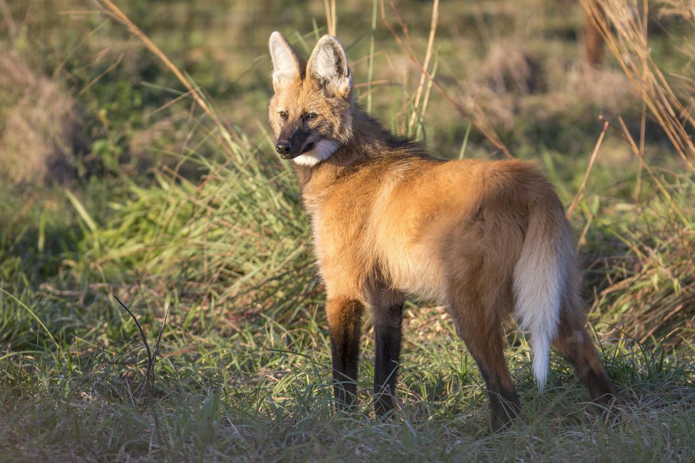 Argentina ibera wetlands wolf Aguará Guazú rewilding c Matias Rebak