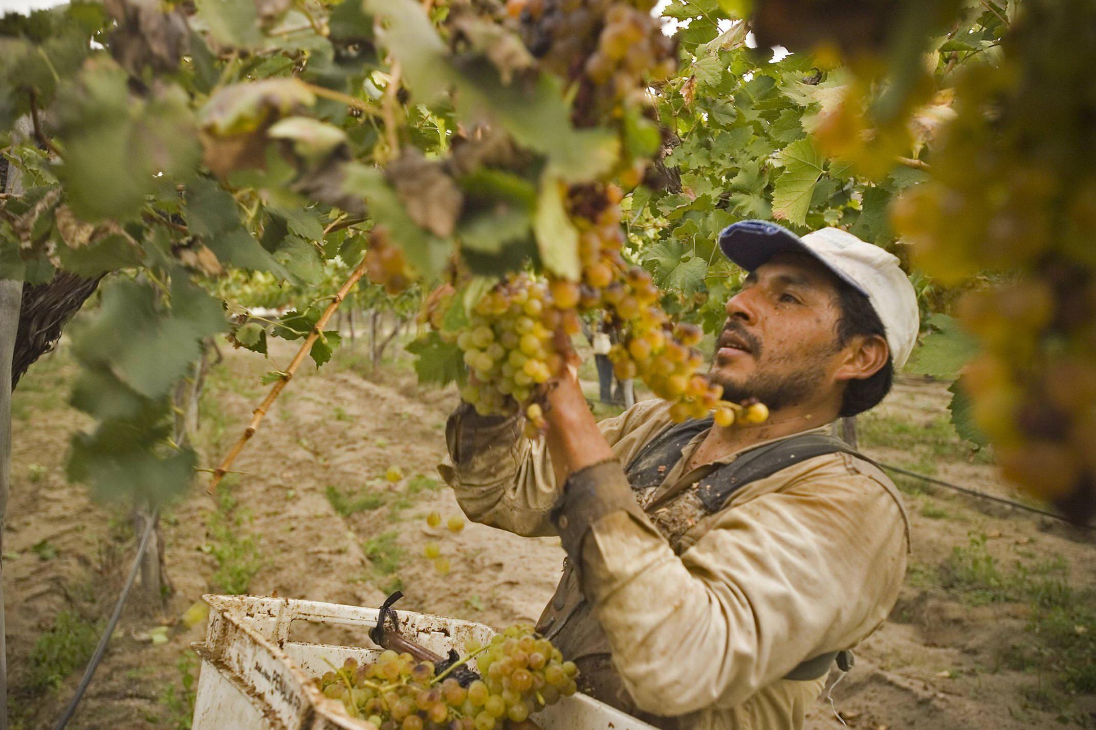 Argentina salta cafayate vinyard wine grape harvest