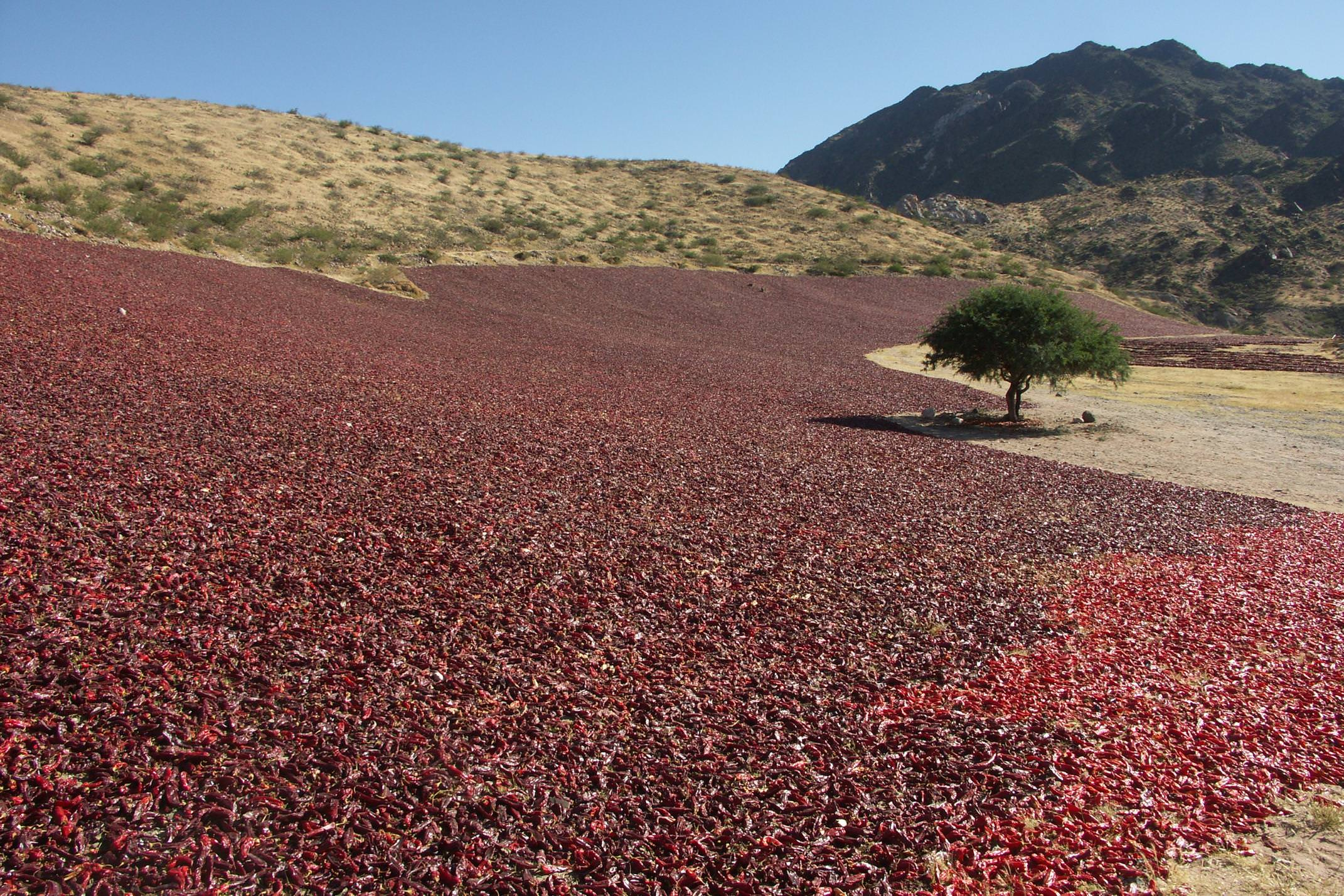 Argentina salta drying peppers