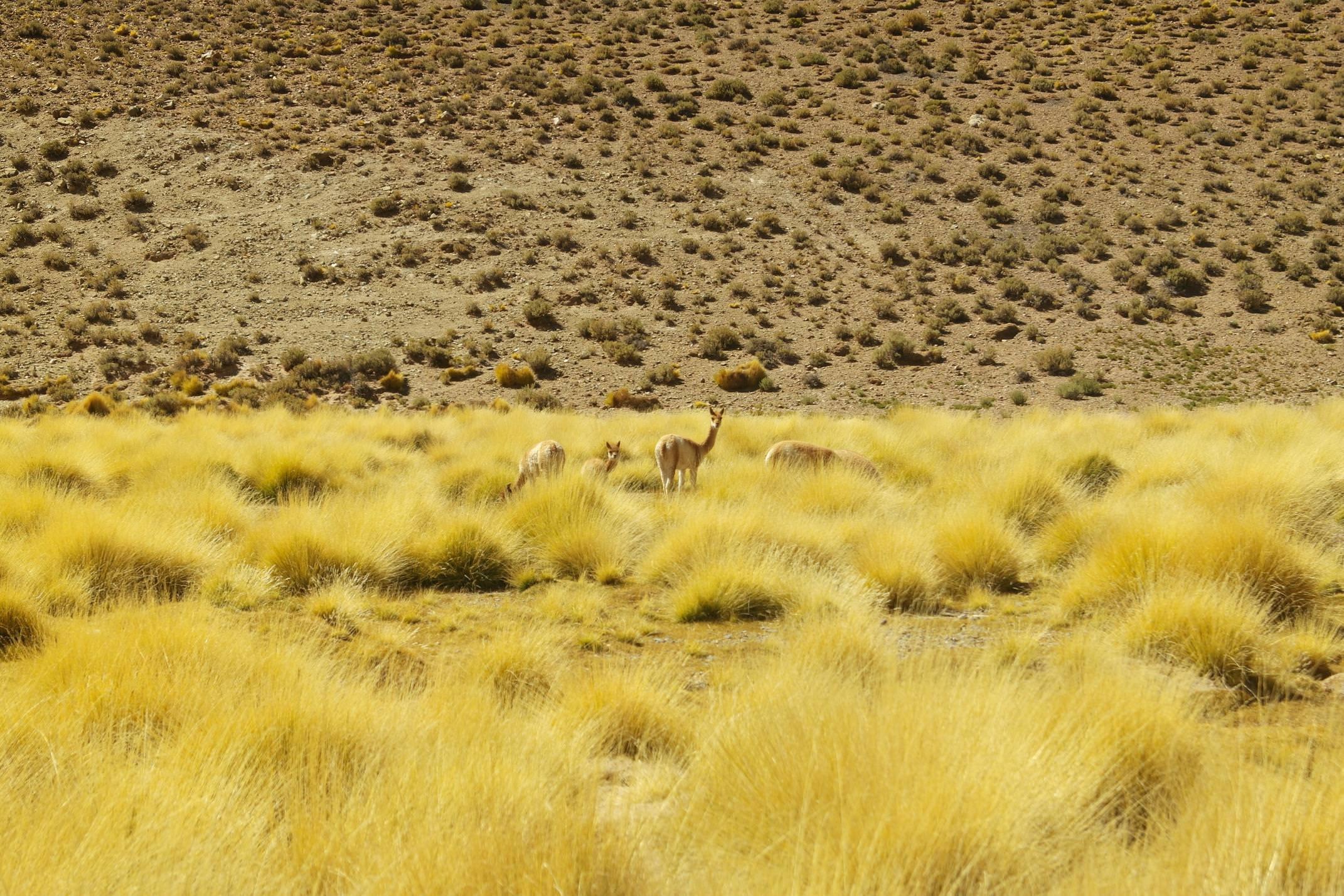 Argentina salta puna llama grazing