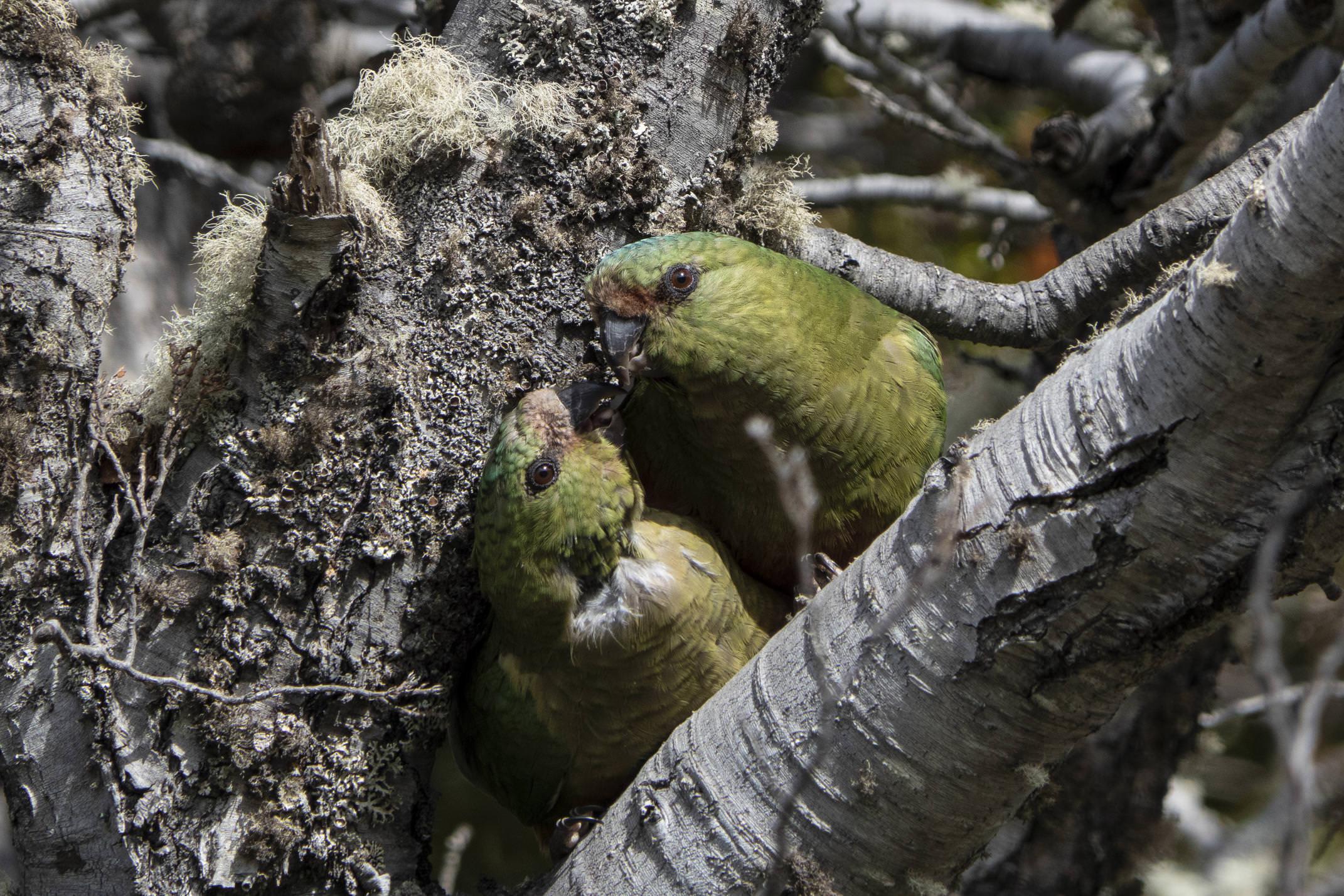 Argentina tierra del fuego ushuaia patagonia southern parrot cotorrita 4 c diego