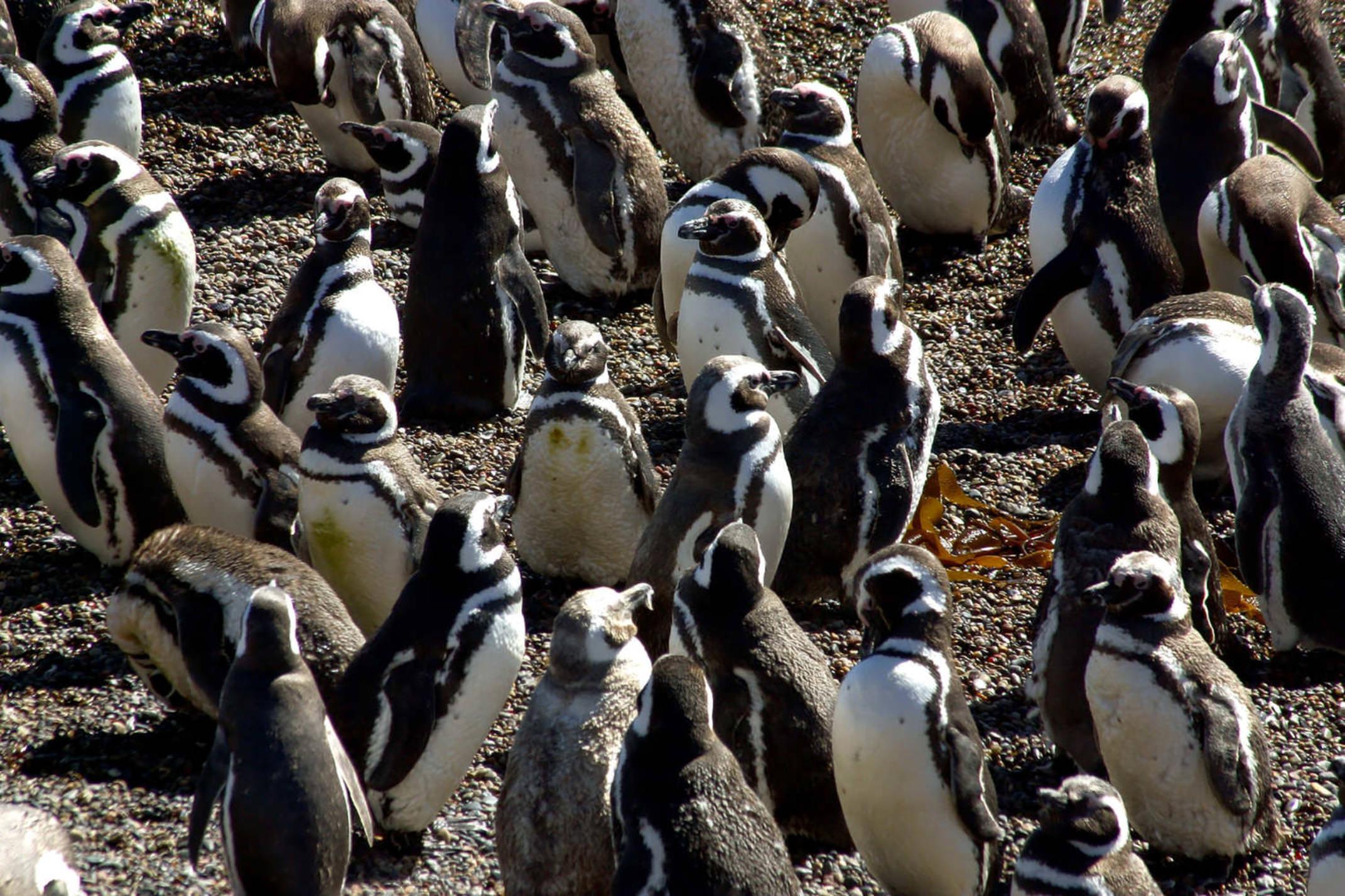 Argentina valdes peninsula magellanic penguins at peninsula valdes patagonia argentina