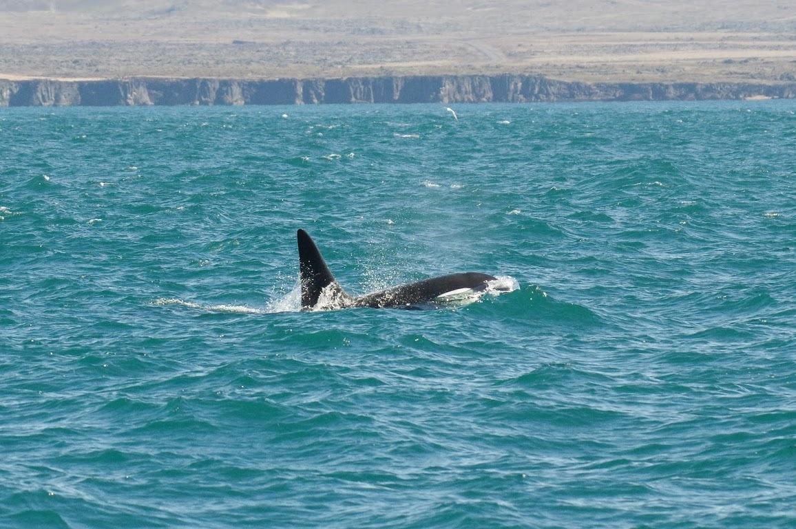 Argentina valdes peninsula orca in sea