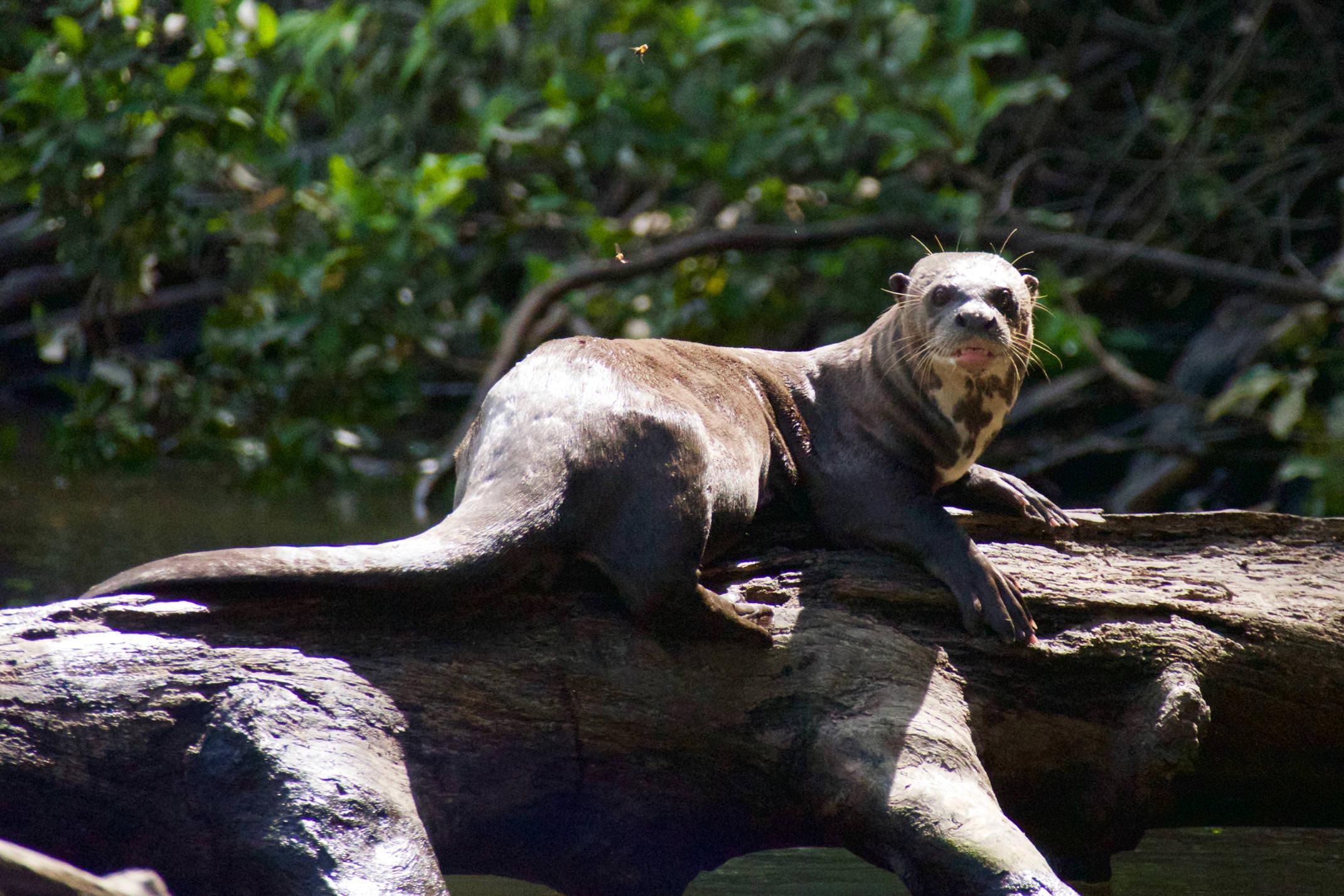 Brazil amazon cristalino lodge giant river otter copyright thomas power pura aventura