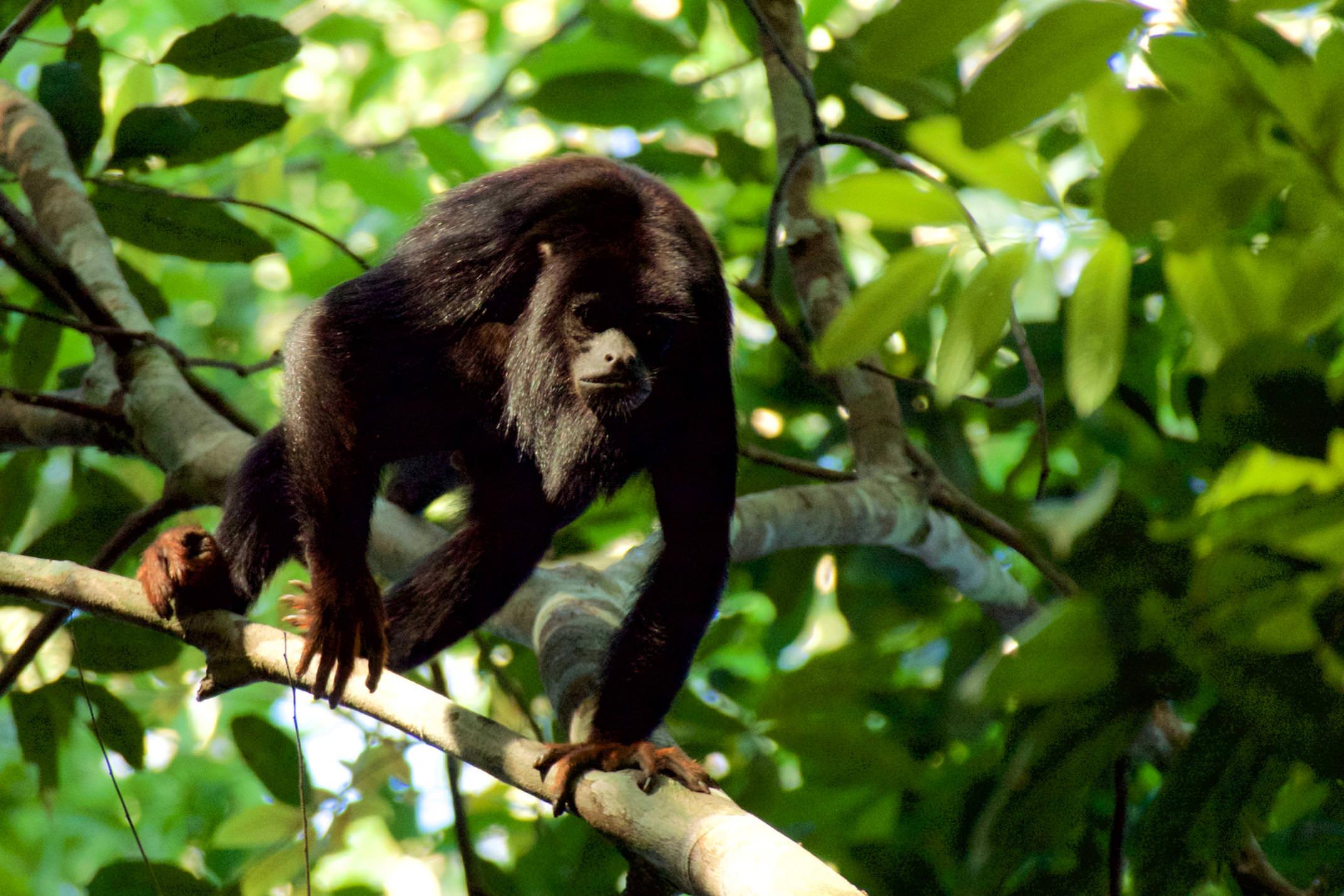 Brazil amazon cristalino lodge red handed howler monkey copyright thomas power pura aventura
