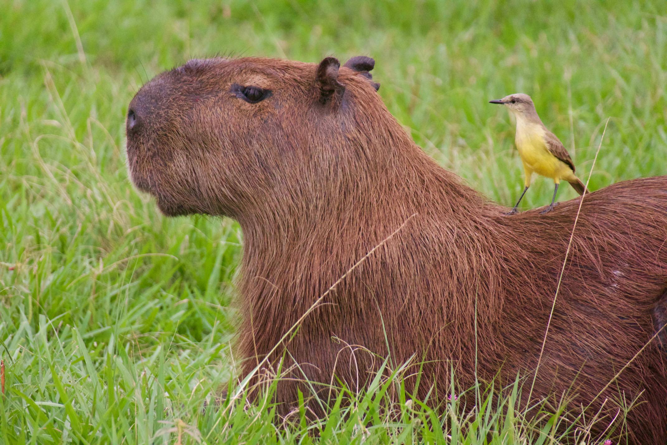 Brazil pantanal caiman lodge capybara wth cattle tyrant copyright thomas power pura aventura