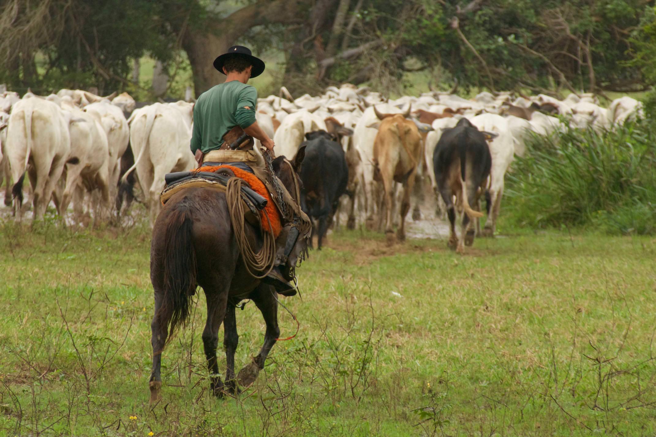 Brazil pantanal caiman lodge herding cattle copyright thomas power pura aventura jpg