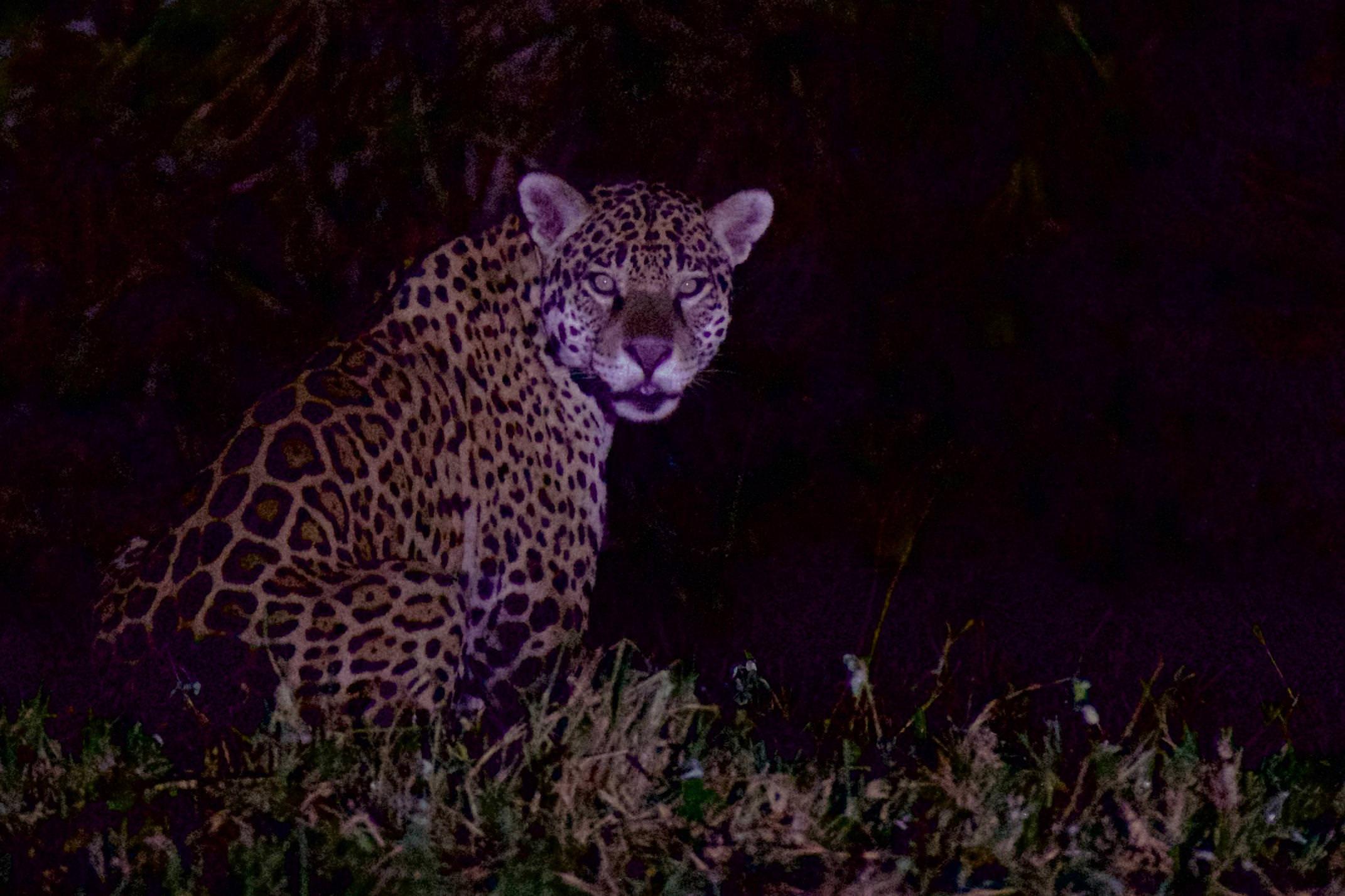 Brazil pantanal caiman lodge jaguar at night two copyright thomas power pura aventura