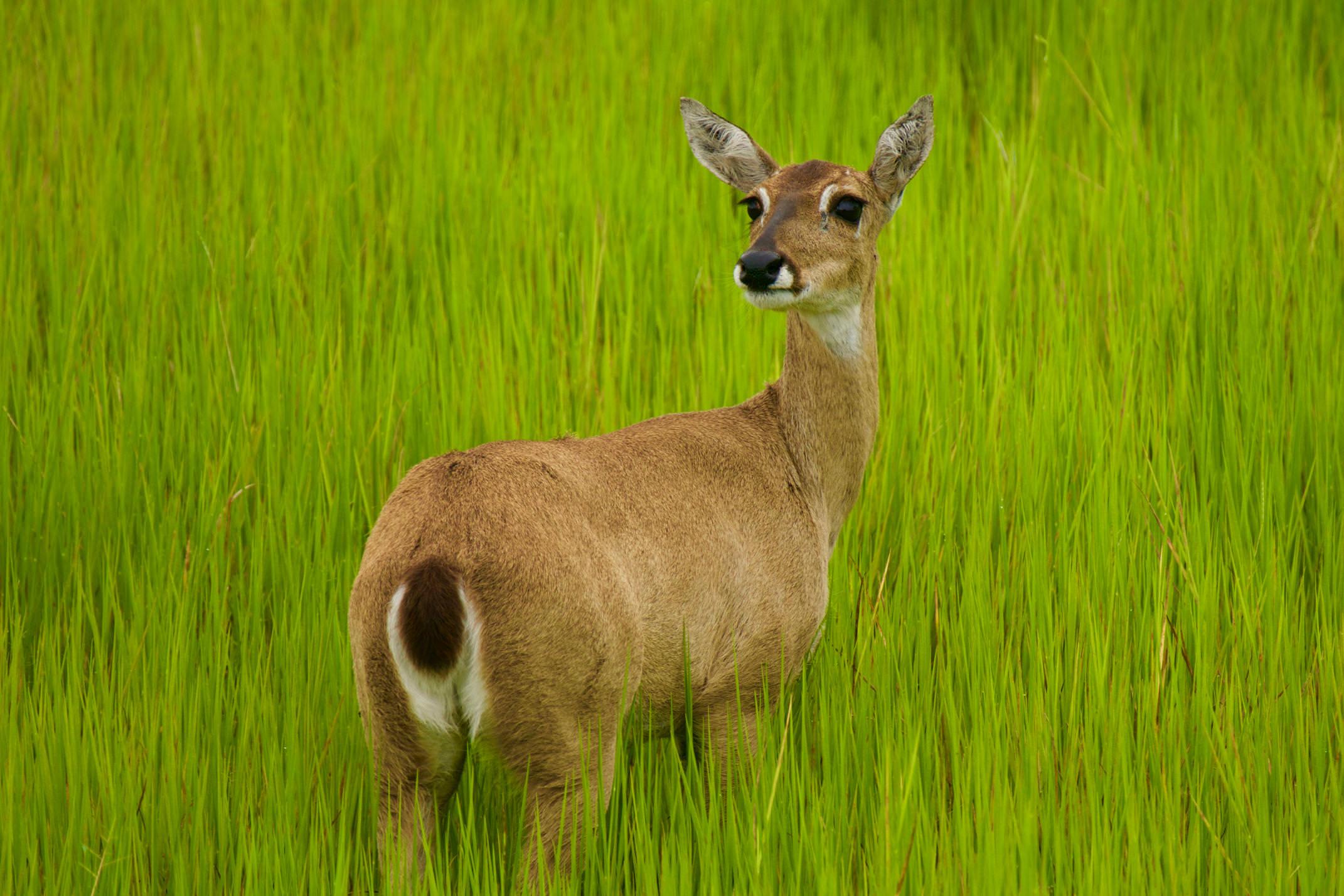 Brazil pantanal caiman lodge marsh deer single copyright thomas power pura aventura