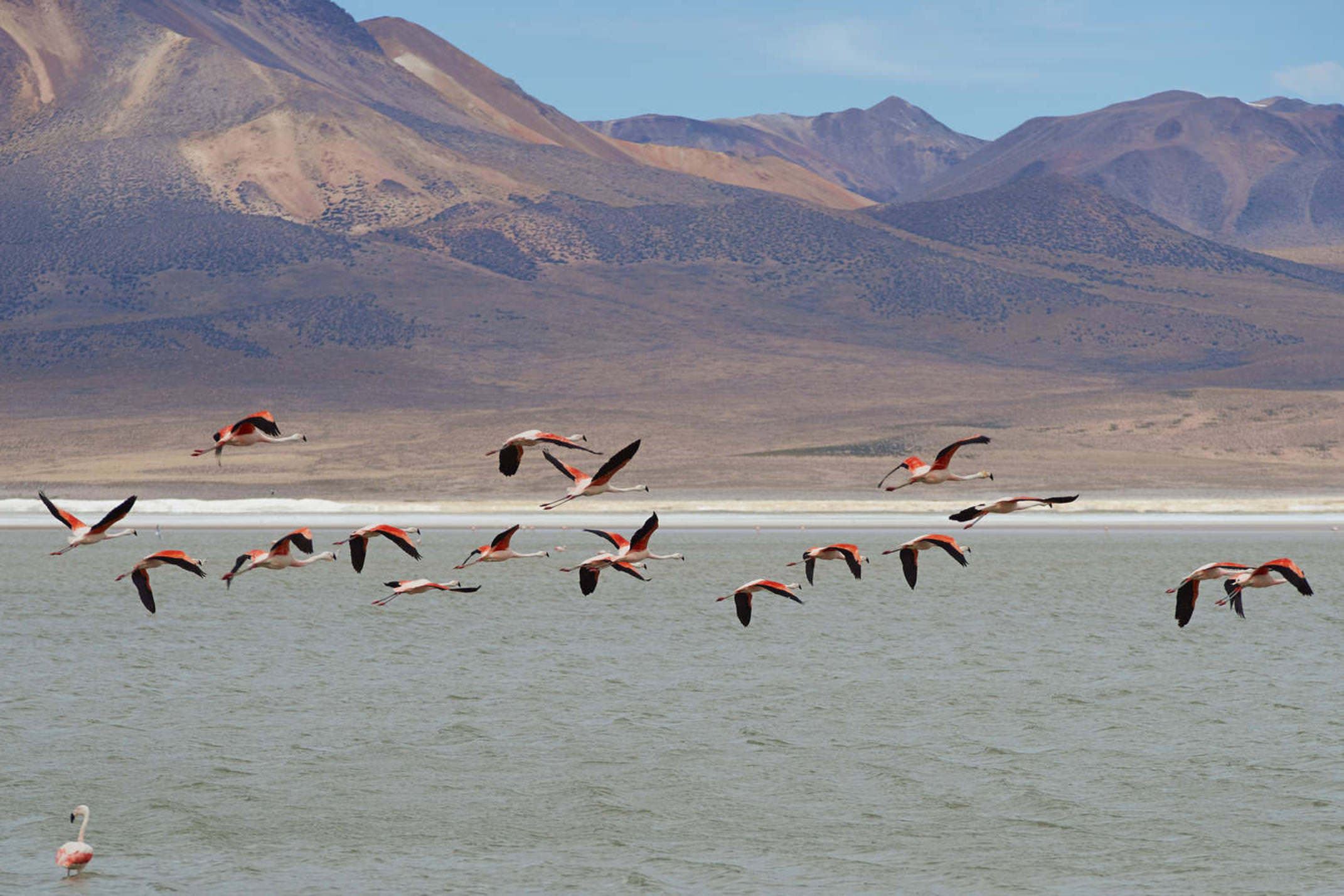 Chile flamingoes taking off from salar surire in vicunas national park