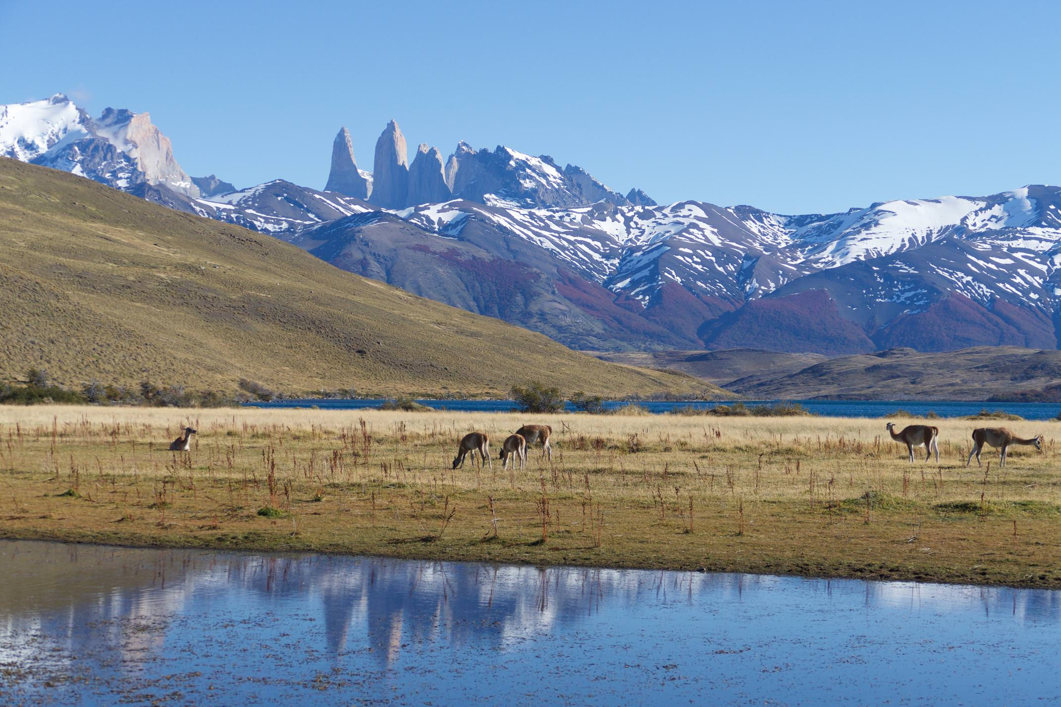 Chile patagonia torres del paine guanacos grazing by laguna azul