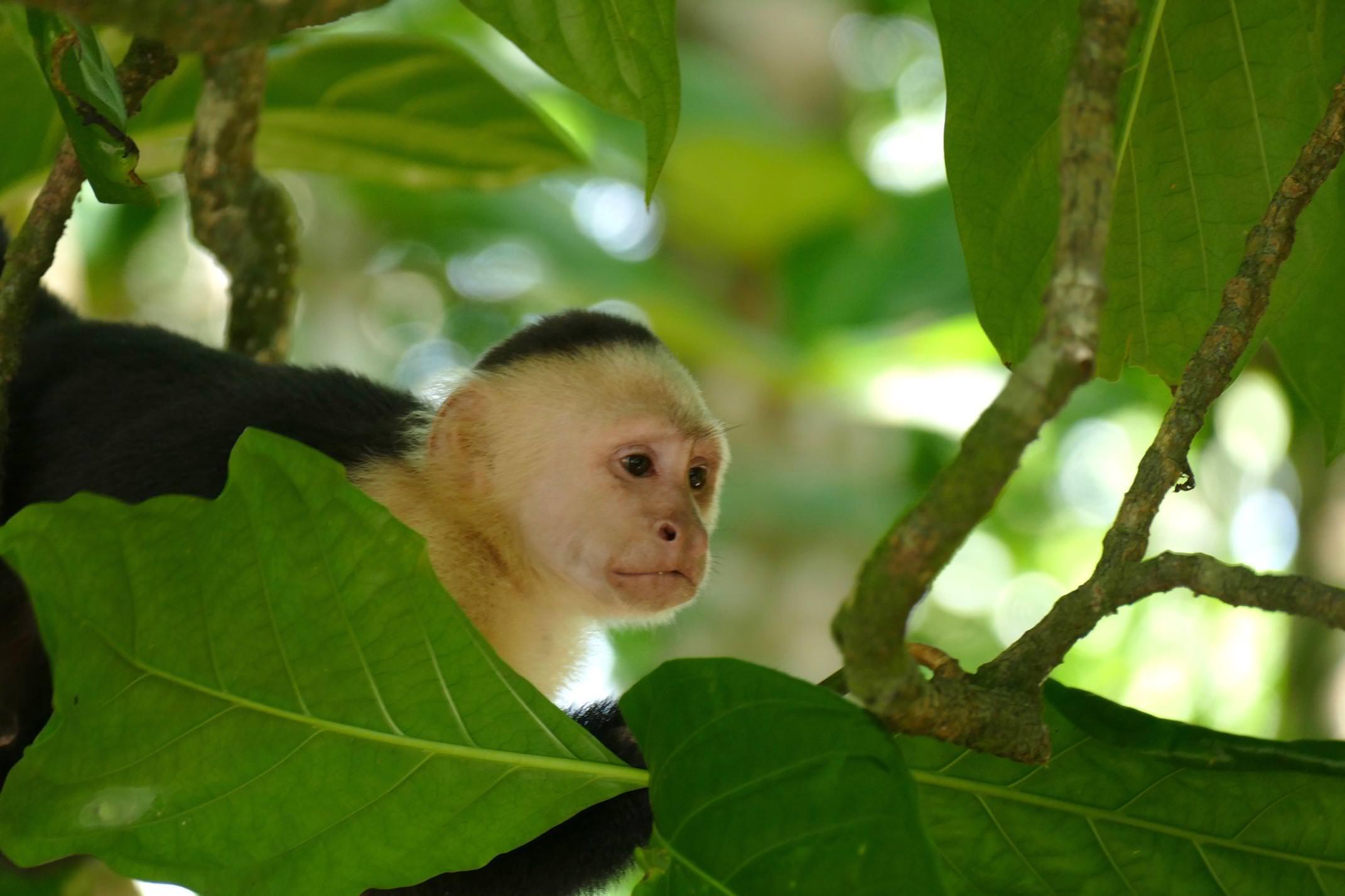 Costa rica caribbean cahuita national park white faced capuchin monkey 4