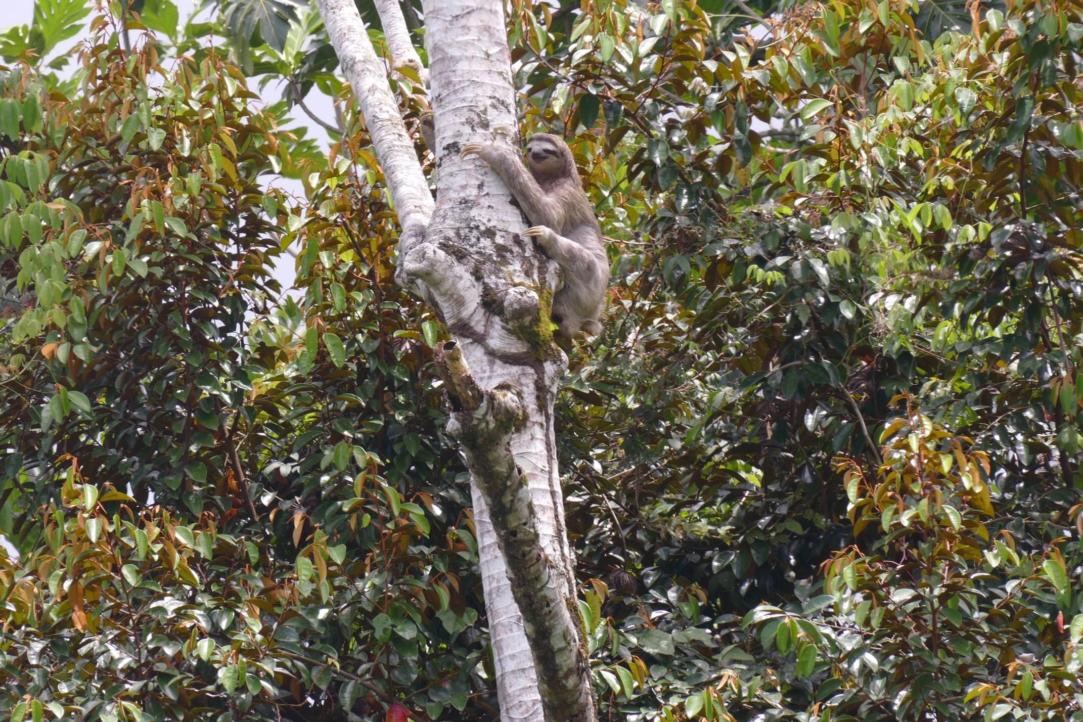 Costa rica caribbean puerto viejo cahuita sloth
