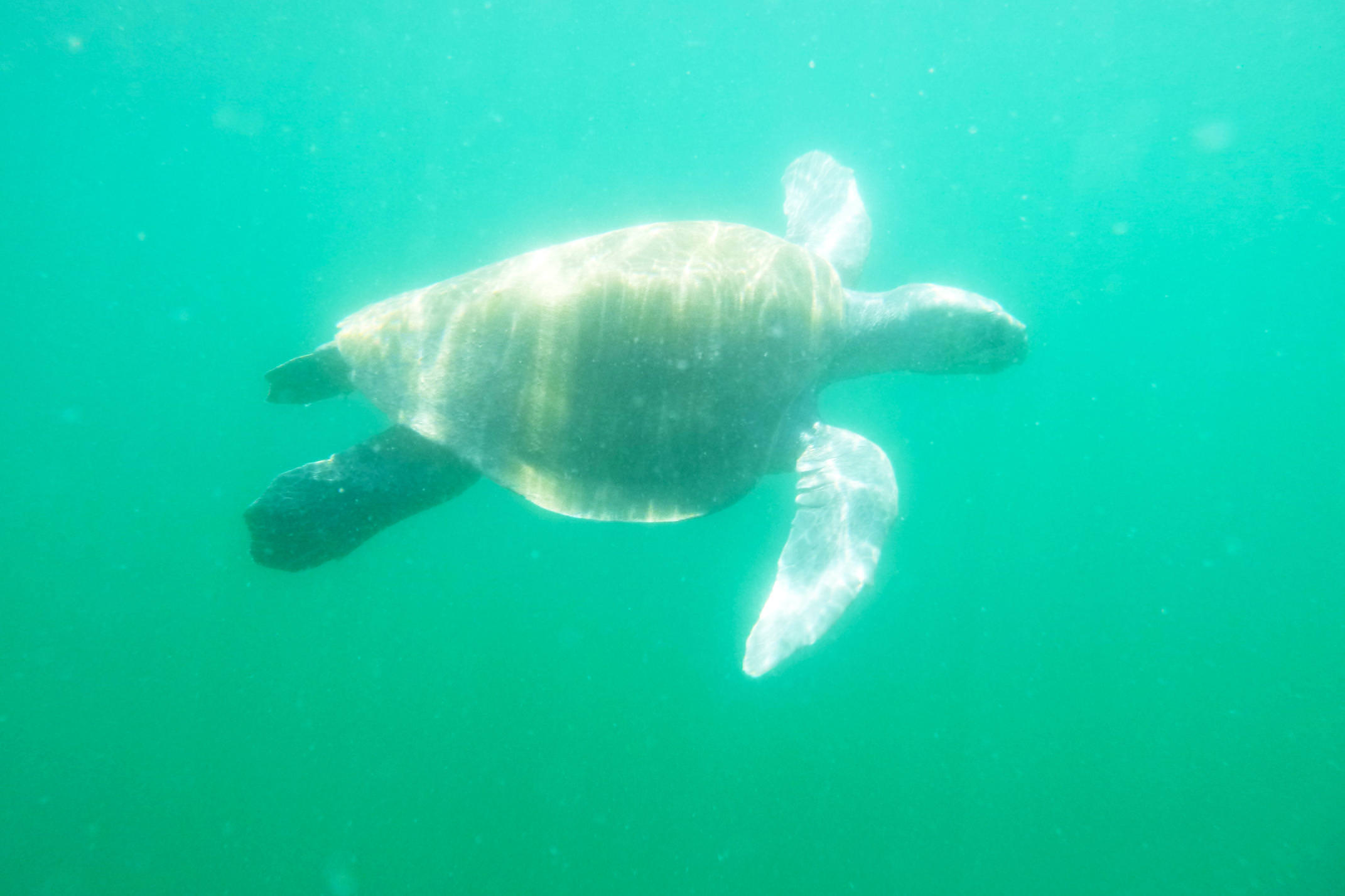 Costa rica nicoya peninsula ostional beach sea turtle swimming
