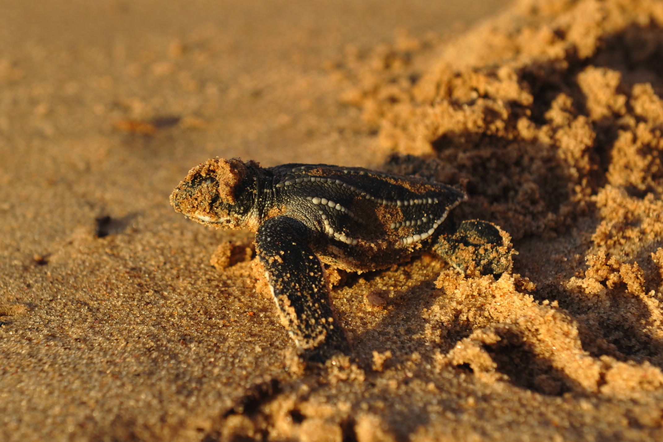 Costa rica pacific hatching turtle stephanie rousseau CROPPED