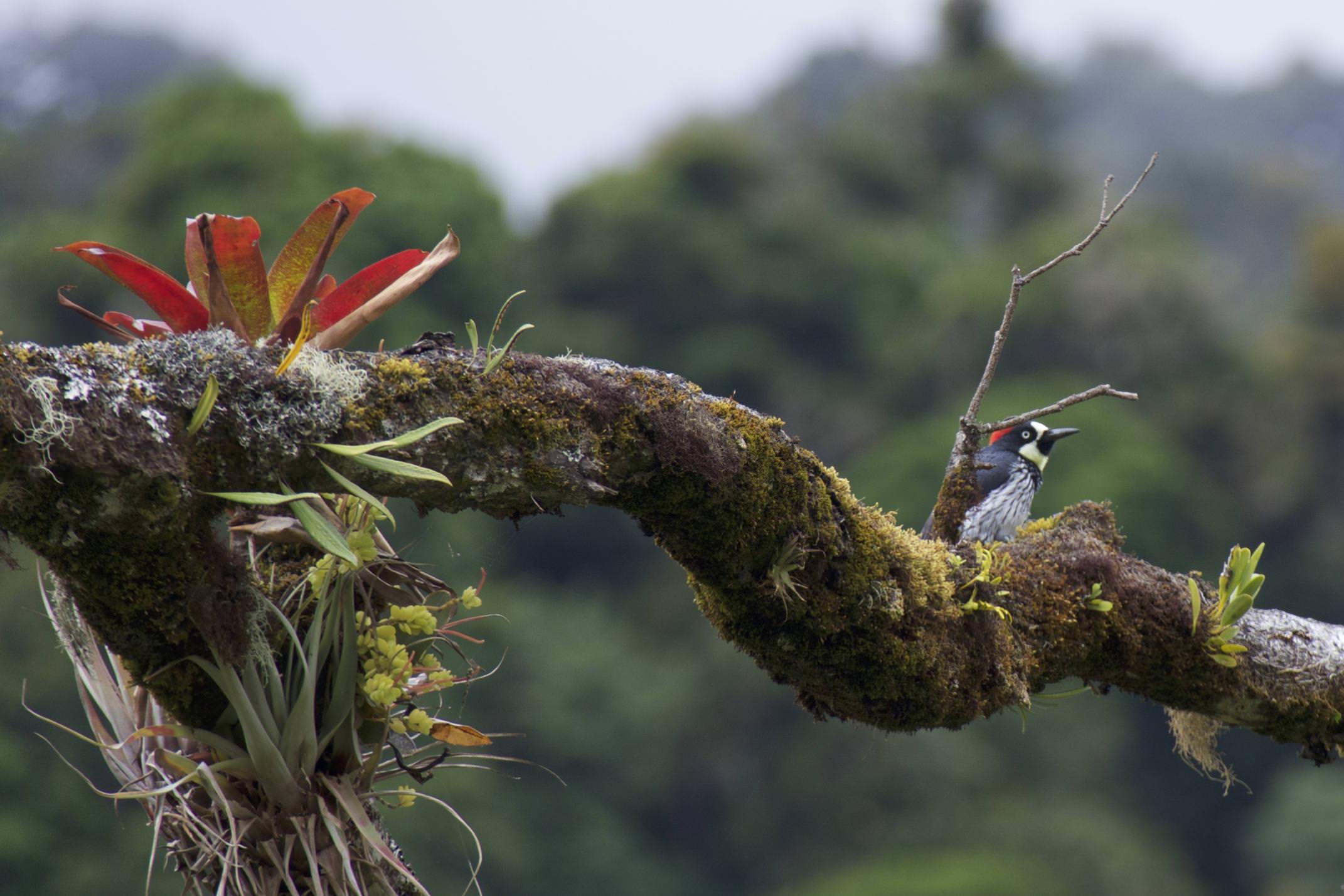 Costa rica san gerardo dota tree creeper bromeliad on branch talamanca hiking
