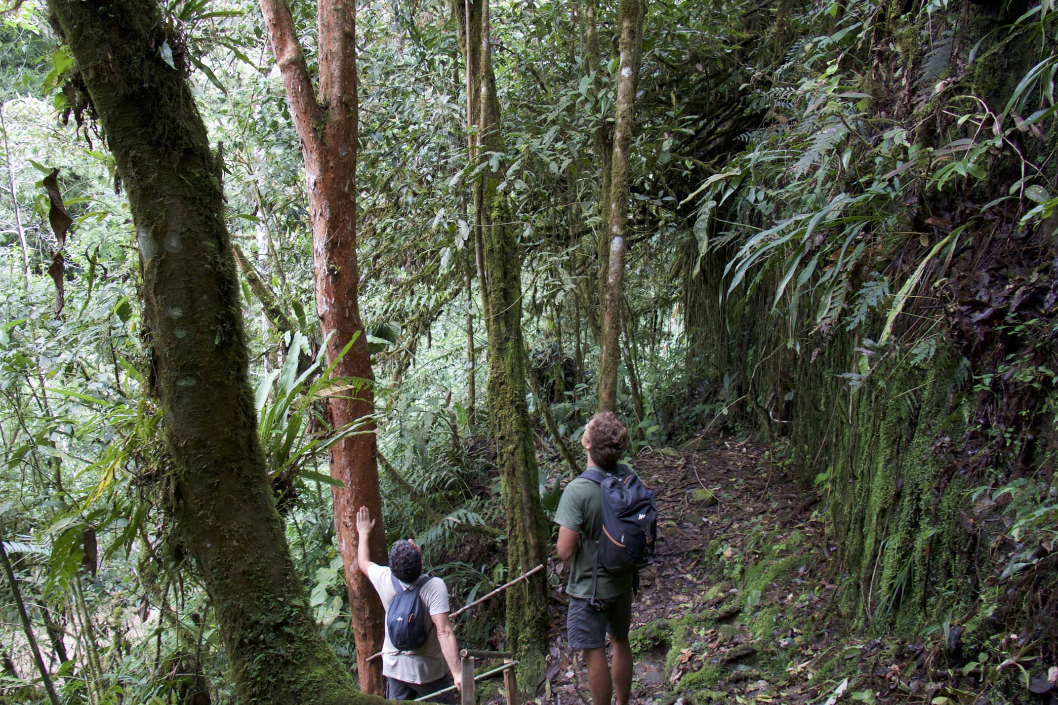 Costa rica san gerardo rivas chirripo cloudbridge looking up at tall trees