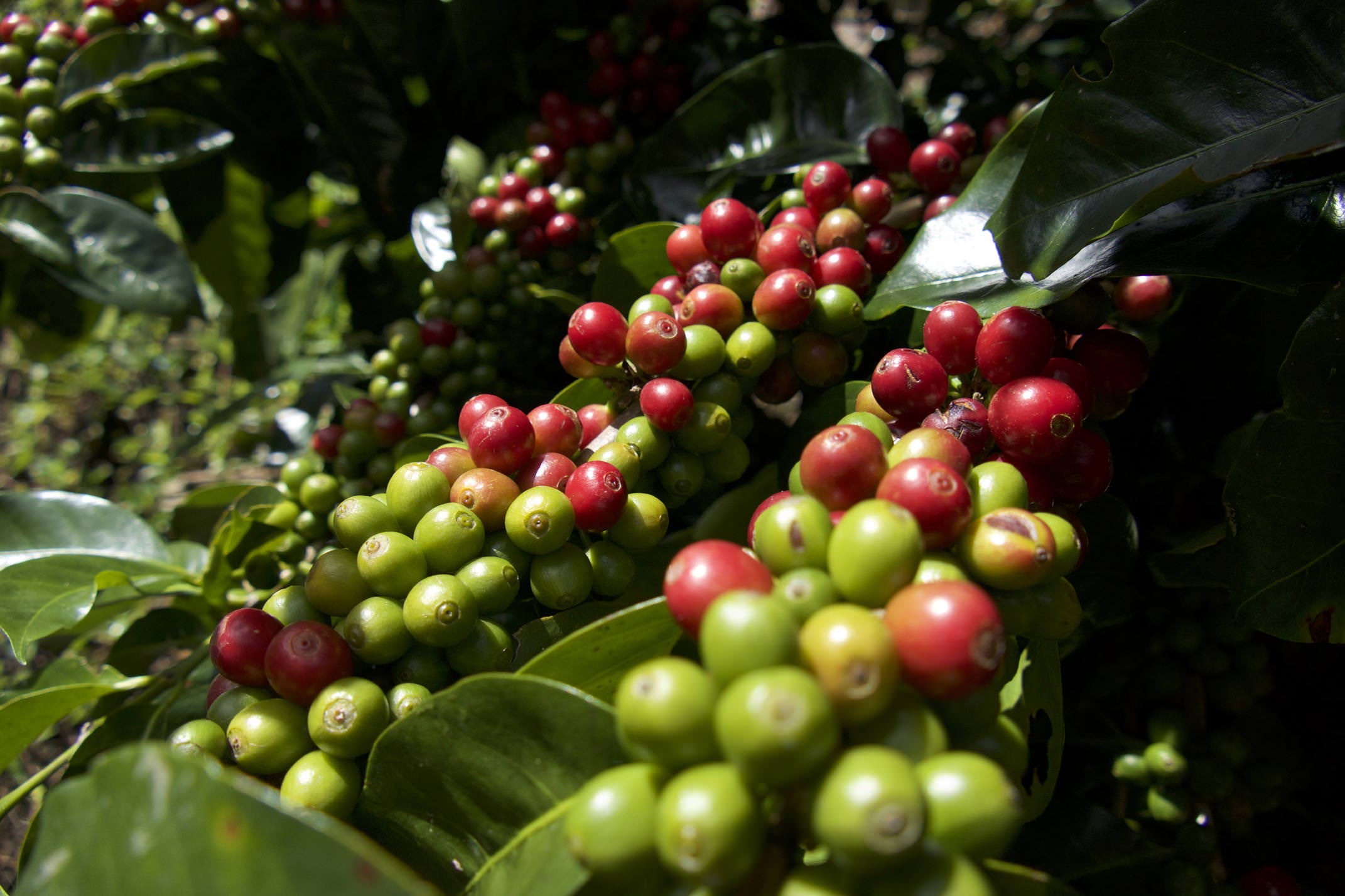 Costa rica san gerardo rivas chirripo coffee ripe beans