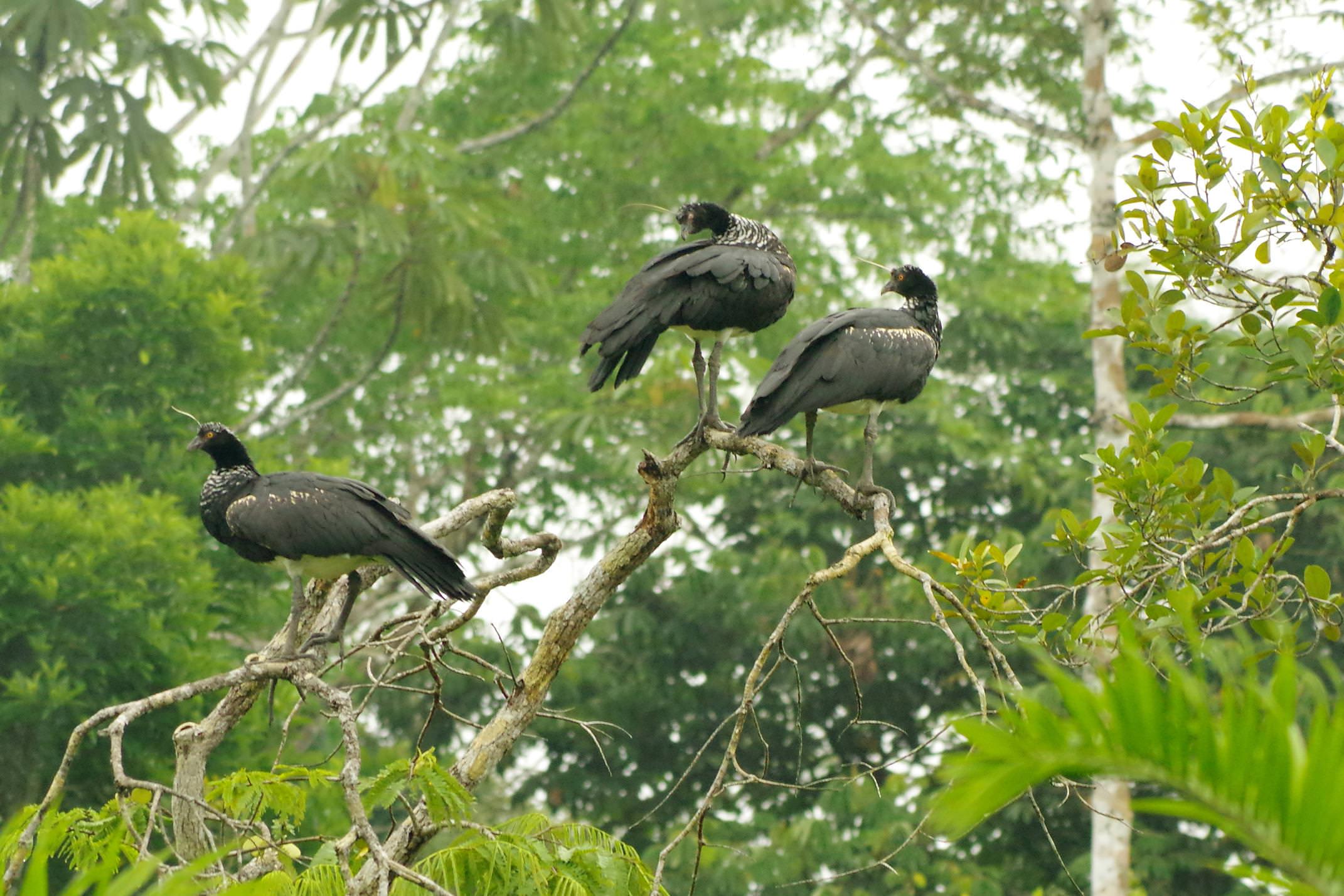 Ecuador amazon horned screamers chris bladon