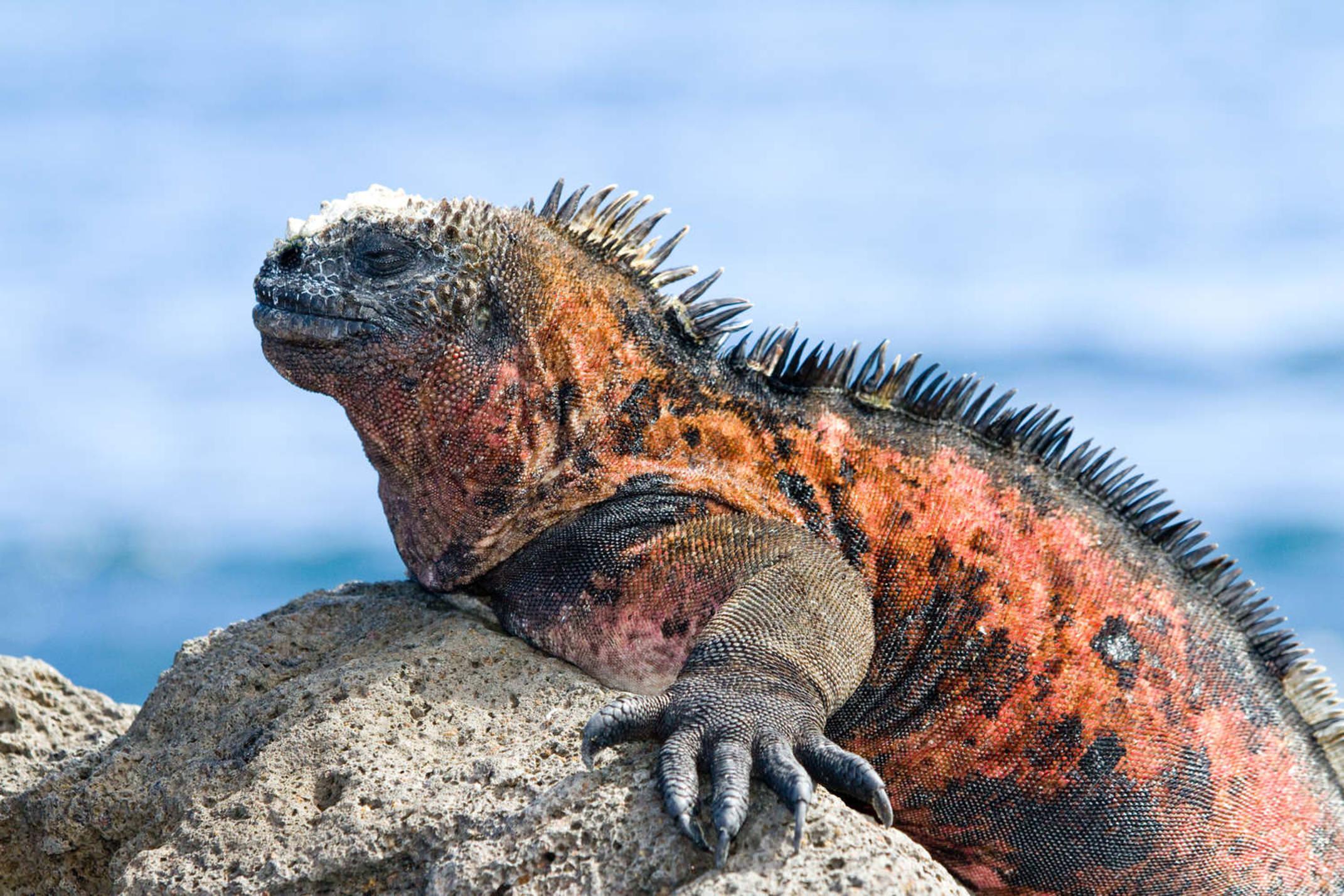 Ecuador galapagos islands galapagos marine iguana amblyrhynchus cristatus