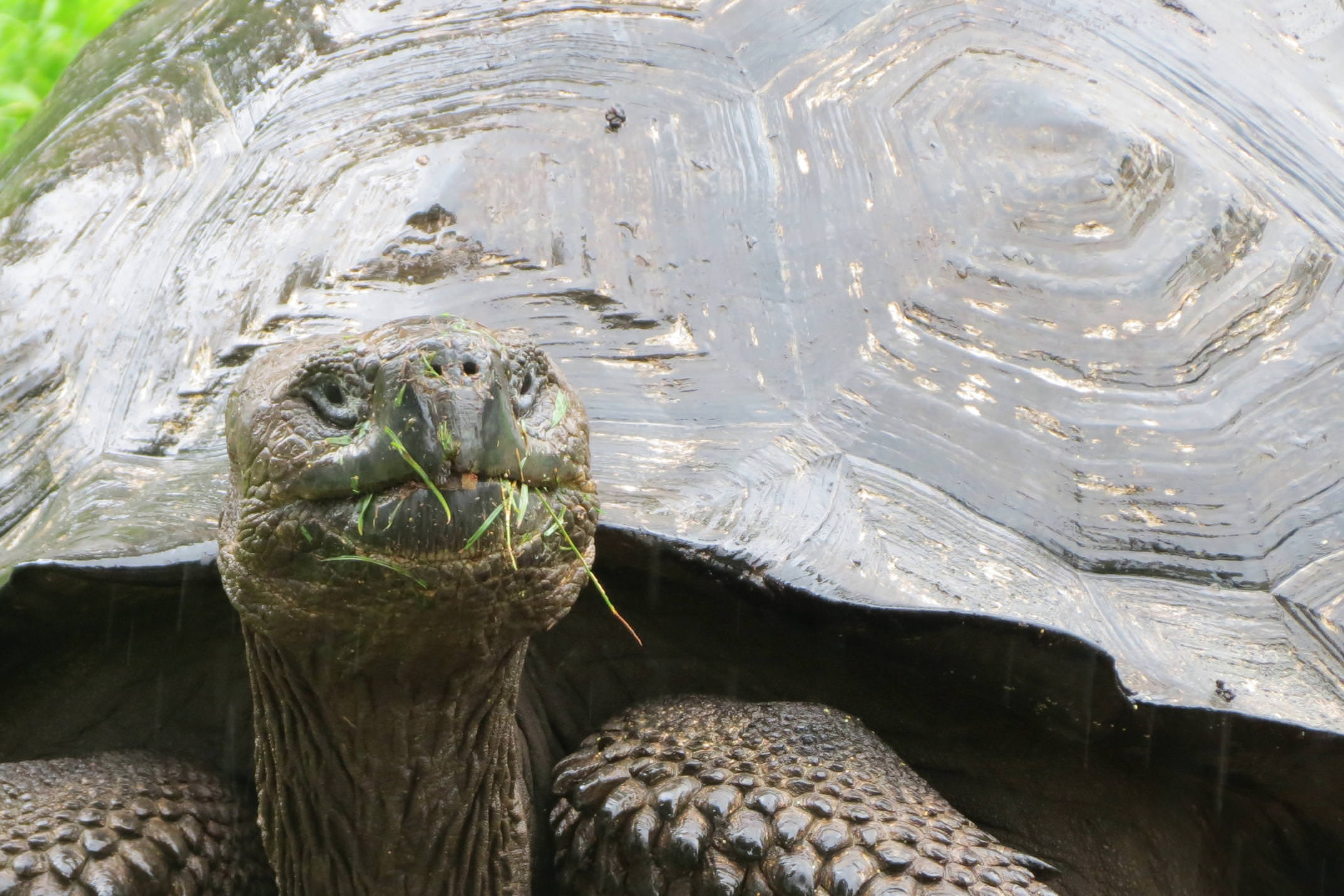 Ecuador galapagos islands santa cruz giant tortoise grassy nose