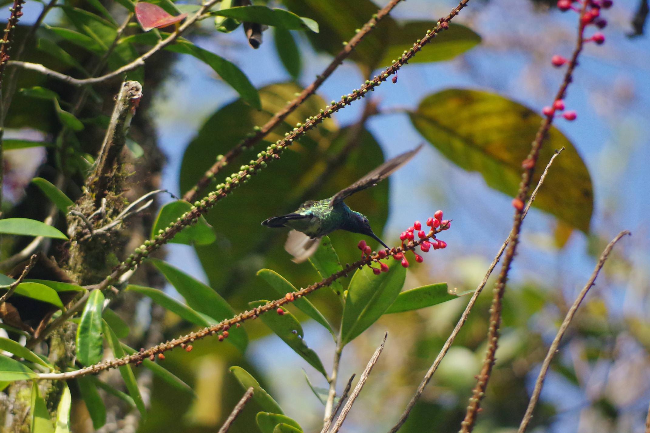 Ecuador mindo hummingbird 2 chris bladon