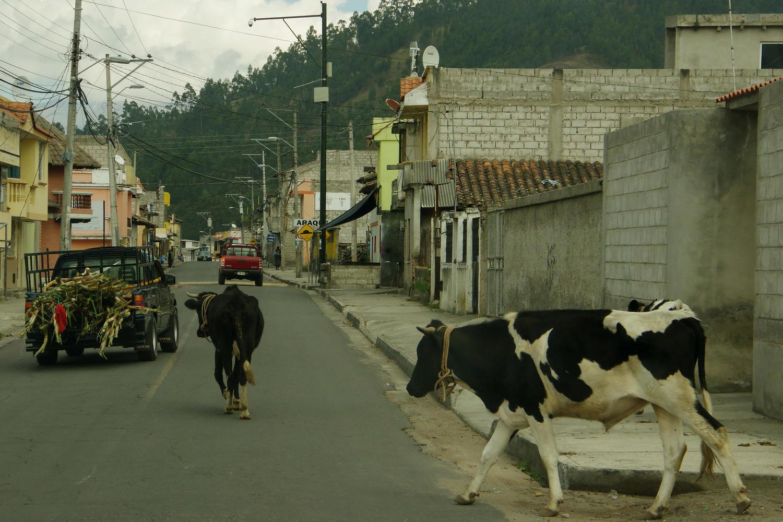 Cows crossing the road at Laguna de San Pablo