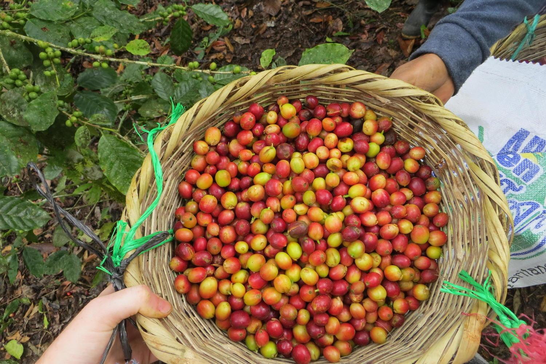 freshly picked coffee cherries in Nicaragua