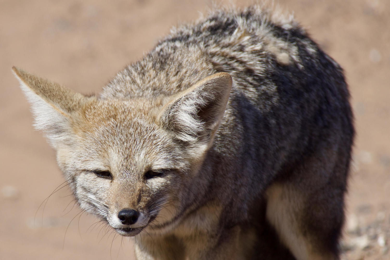 An Andean fox near the Mar de Dunas