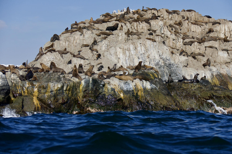 Sea lions Bahia Inglesa