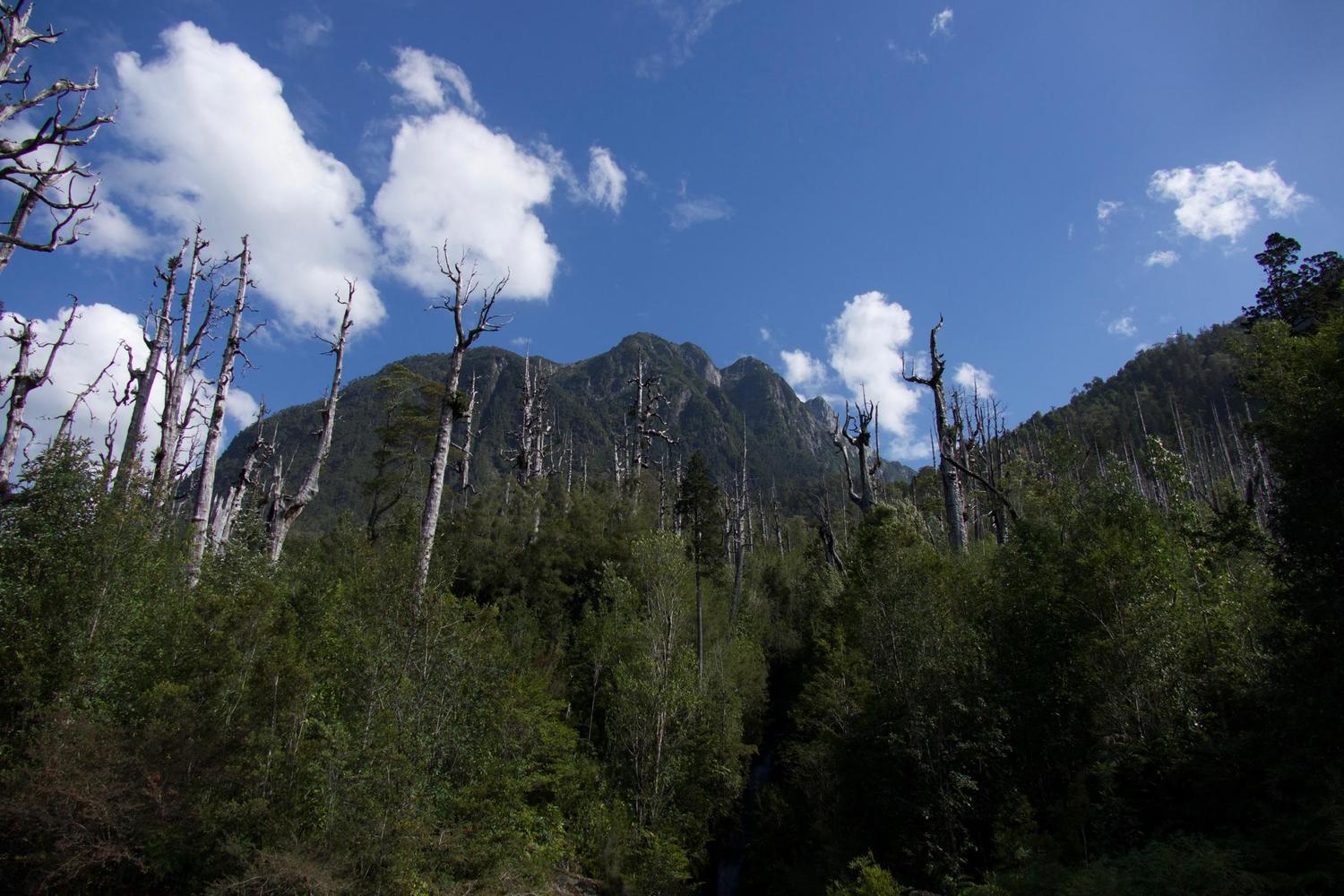 Recovering alerce forest