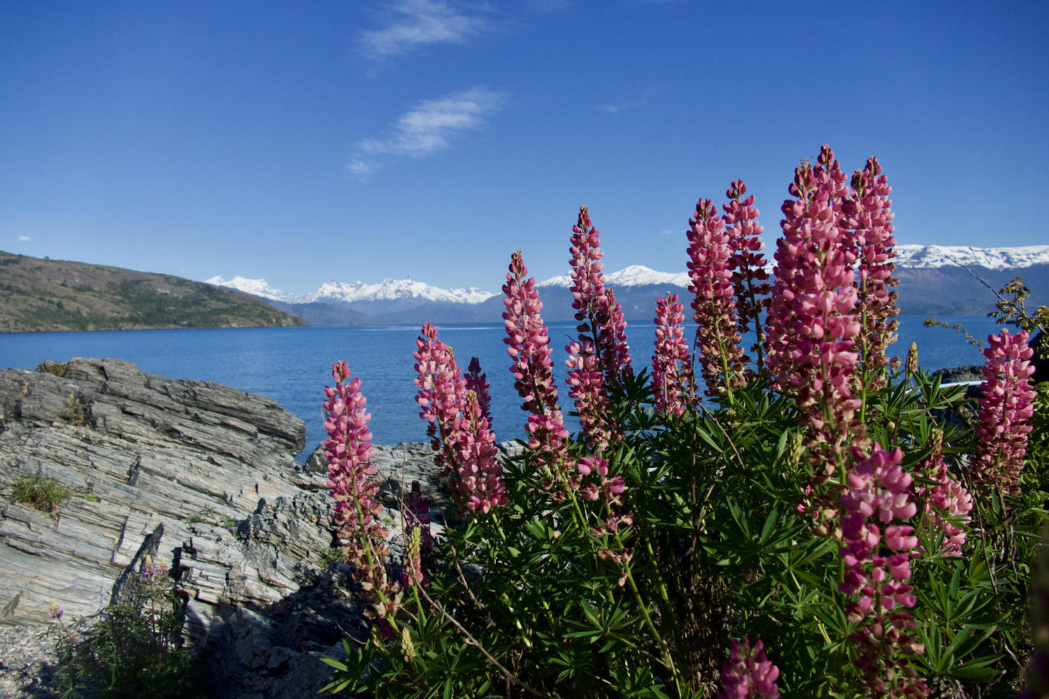 Lupins on the lakeshore by Guadal