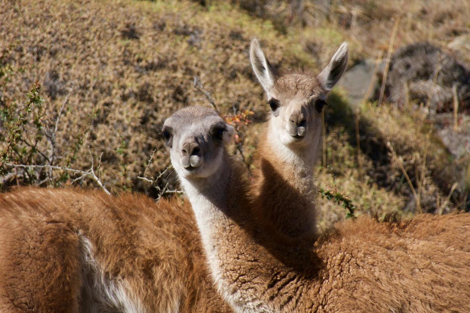 Guanacos in Parque Patagonia on one of our recent visits