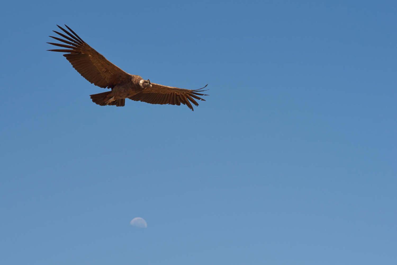 condor in andes