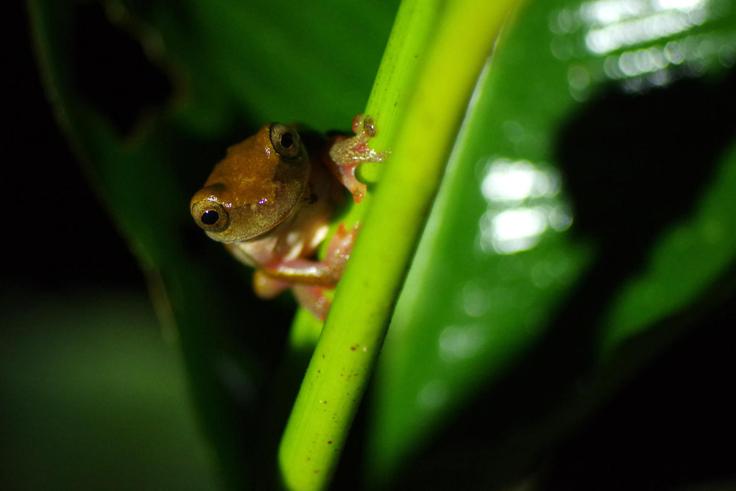 Tiny frog on night walk through Ecuadorian Amazon