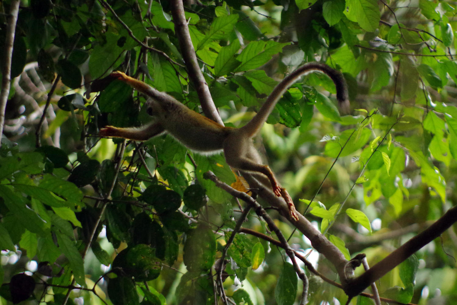 Squirrel monkey near lodge in Yasuni, Ecuadorian Amazon