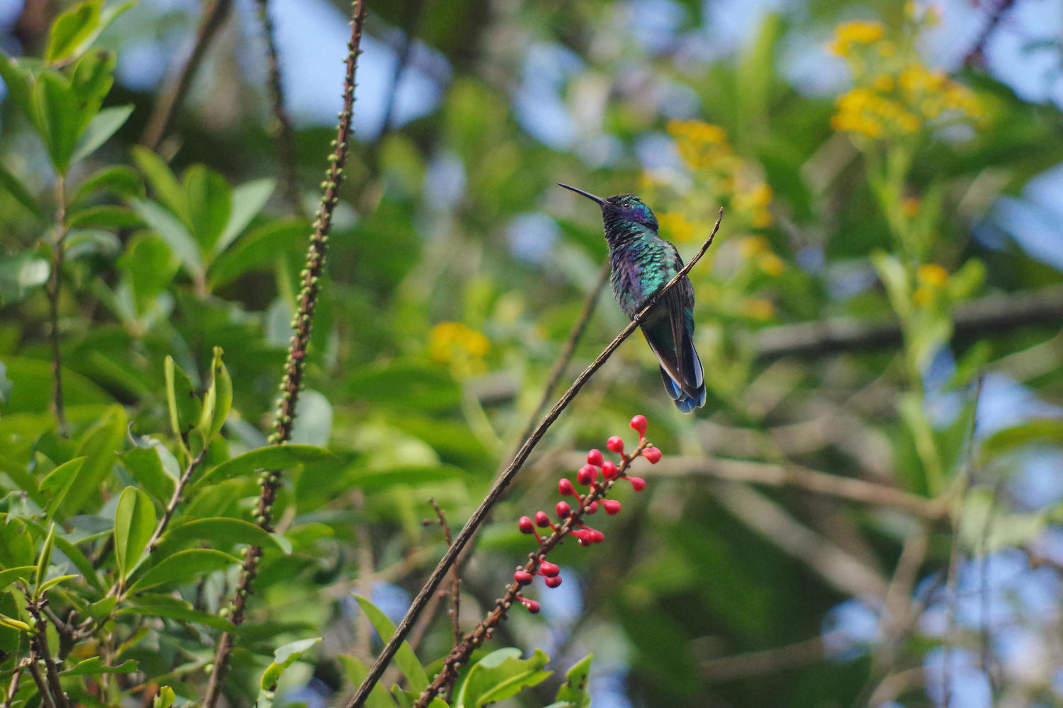 Hummingbirds have to compete surprisingly hard to get their nectar in Mindo