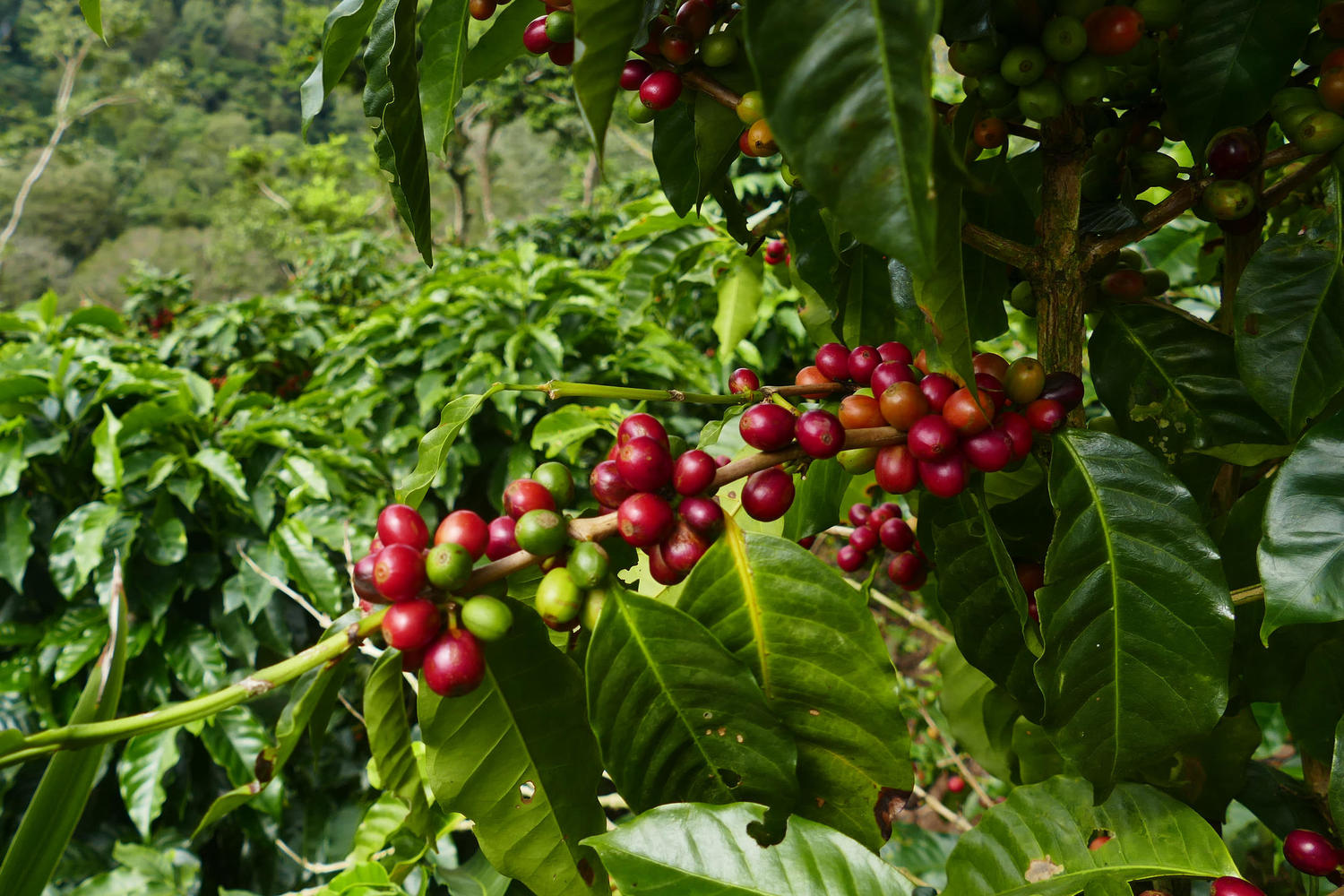 Coffee beans grow in the highlands of Nicaragua