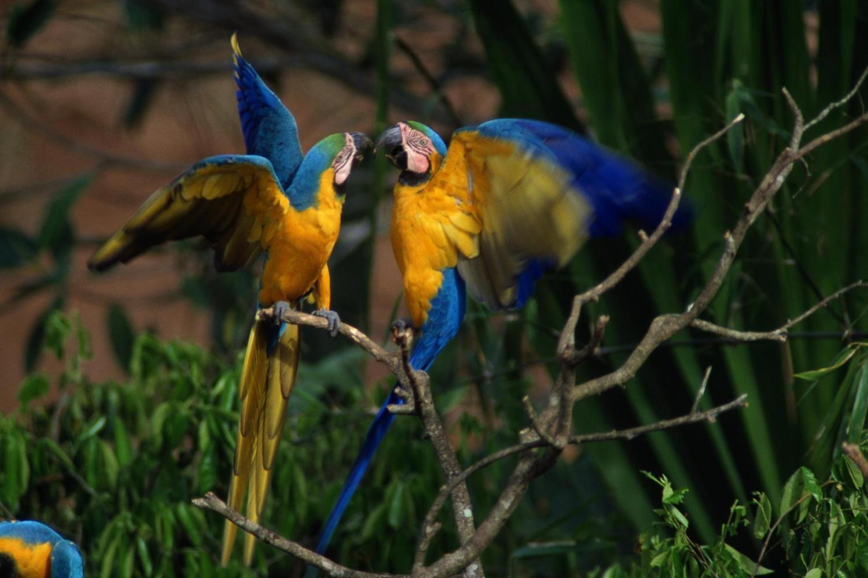 peru-amazon-blue-yellow-macaws