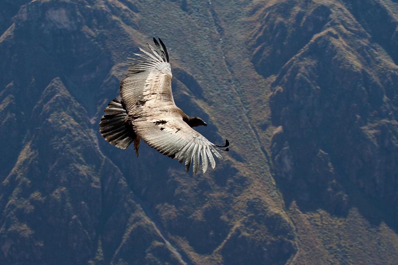 A condor swooping over the Colca Canyon