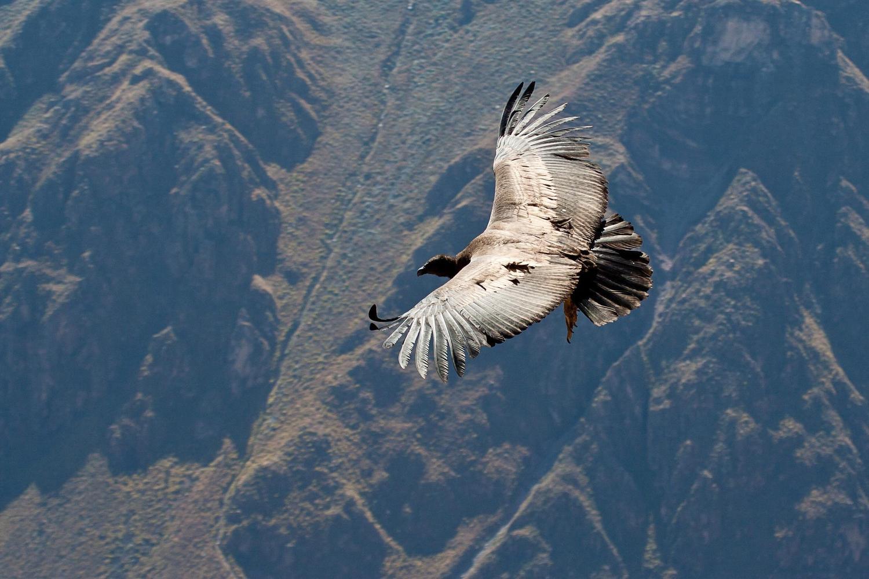 peru-colca-condor-flying