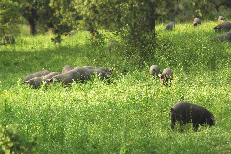 portugal-alentejo-evora-herdade-do-freixo-pigs-in-the-wild
